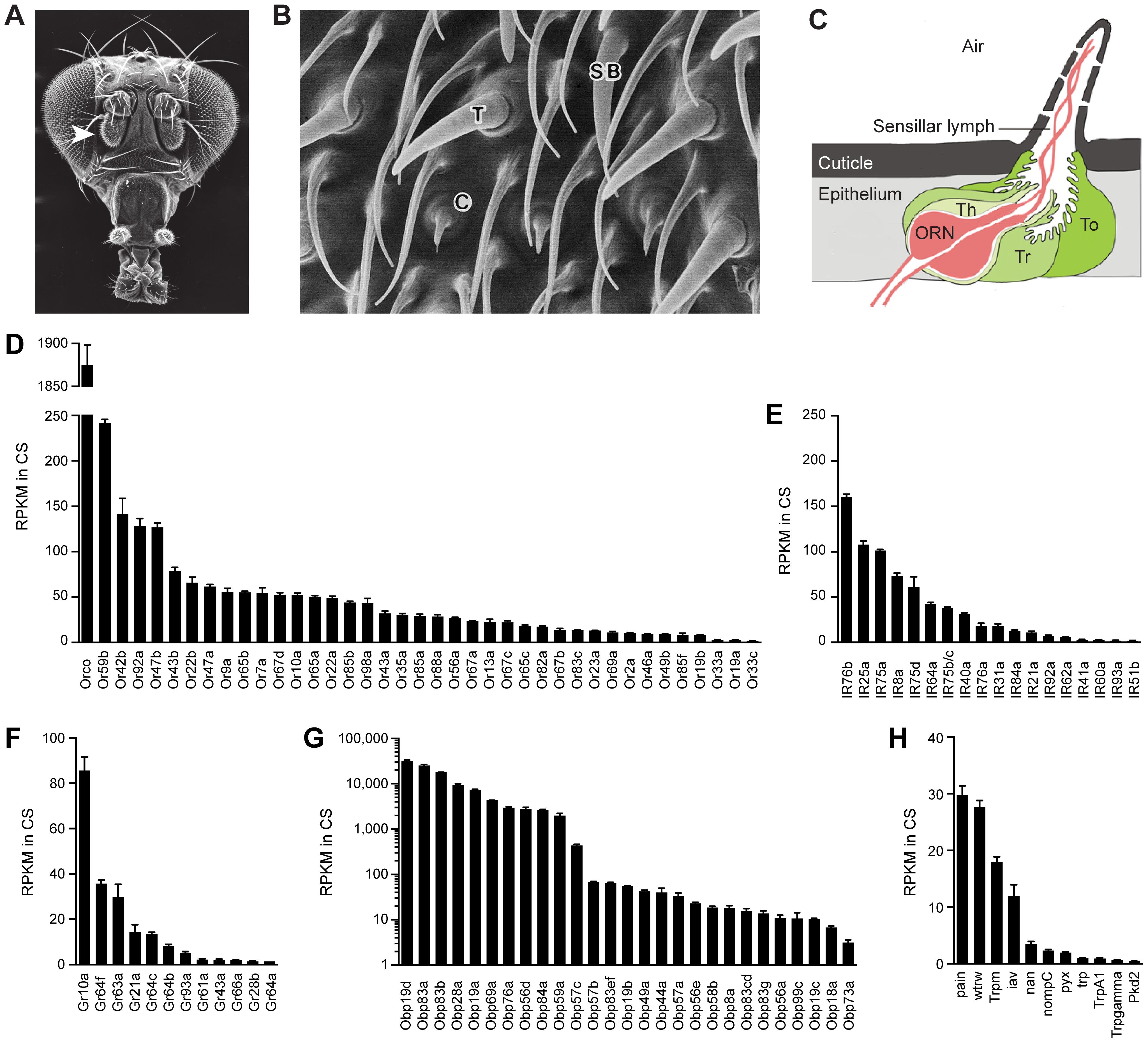 Chemosensory gene expression in the wild-type antennal third segment.