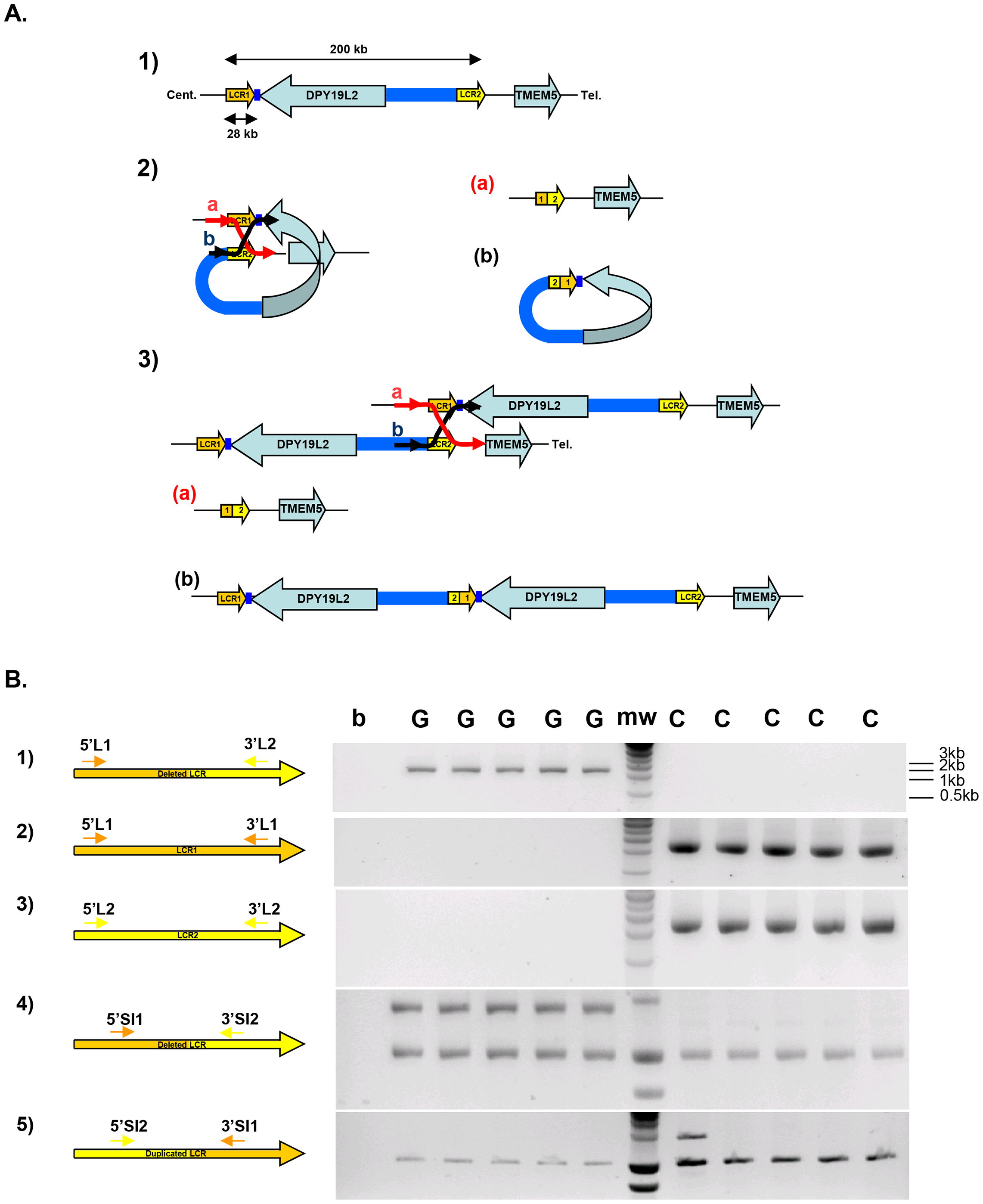 Strategy and validation of the detection of <i>DPY19L2</i> recombined alleles by PCR.