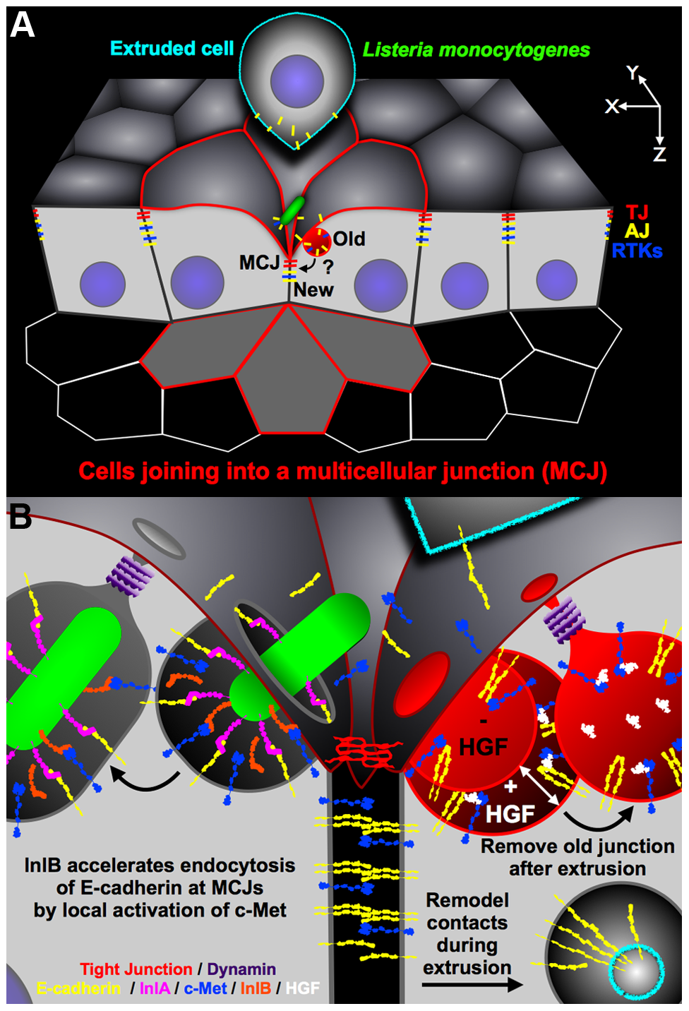 Diagram of <i>Lm</i> invasion coupled to junctional remodeling by endocytosis at the MCJ.