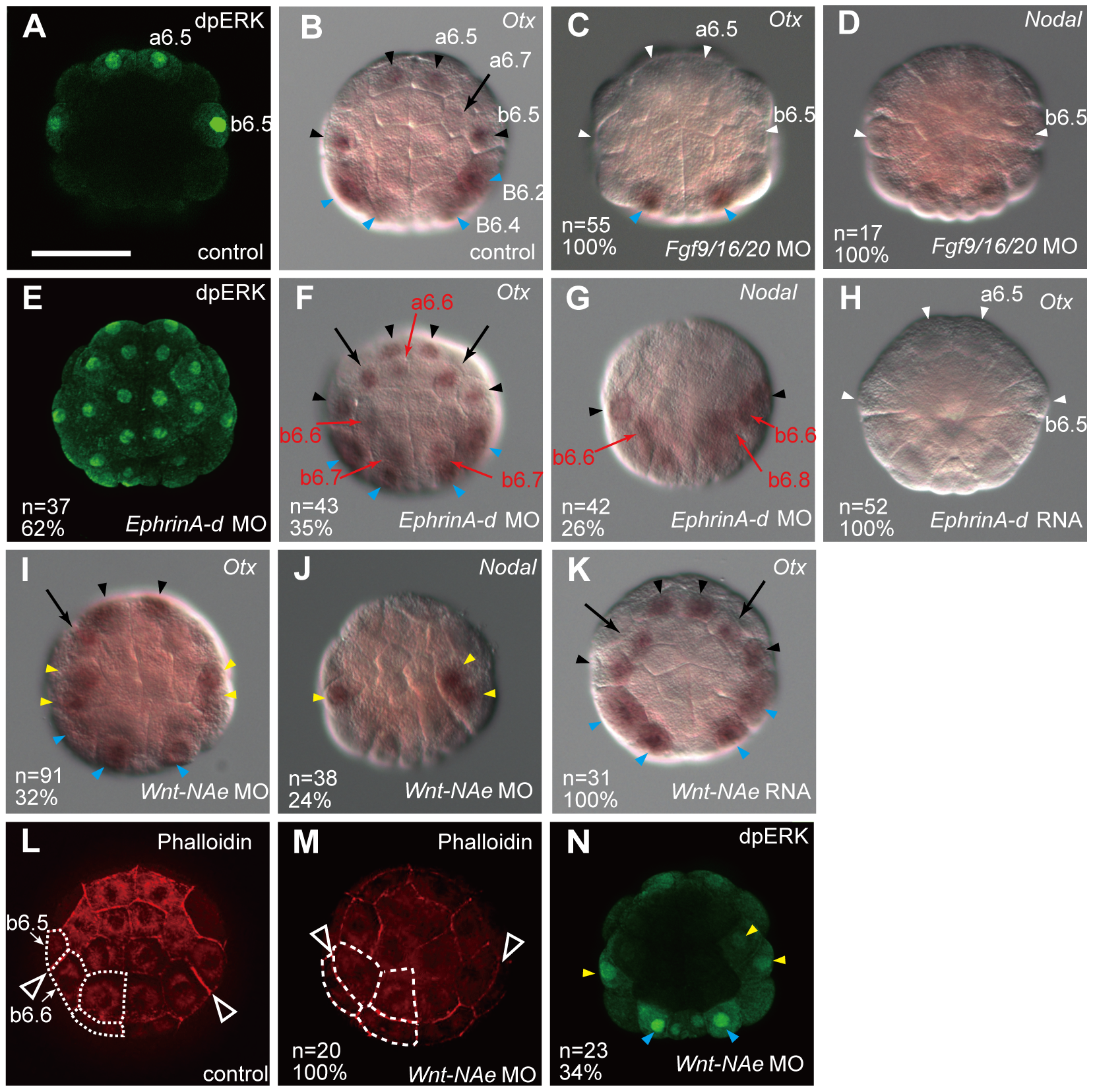 Fgf, Ephrin and Wnt signaling cooperatively regulates neural fate.