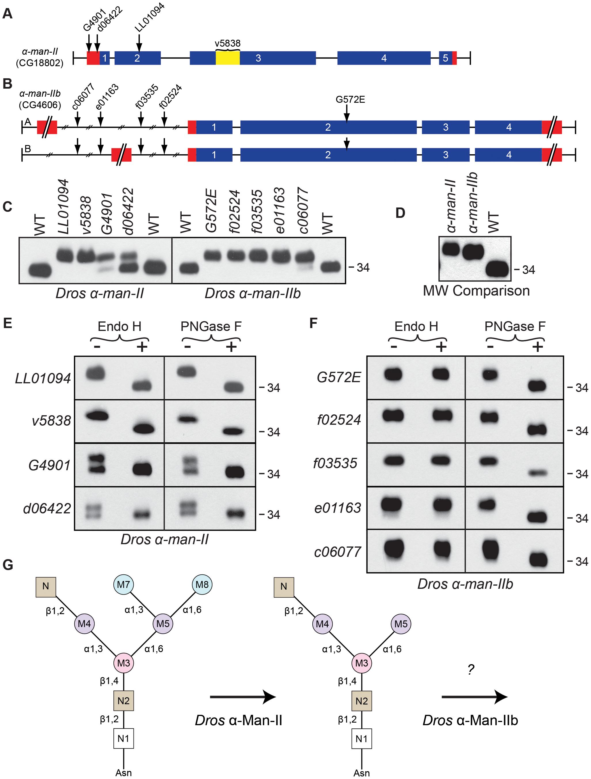 <i>Drosophila</i> α-Man-II functions upstream from α-Man-IIb during Rh1 deglycosylation.