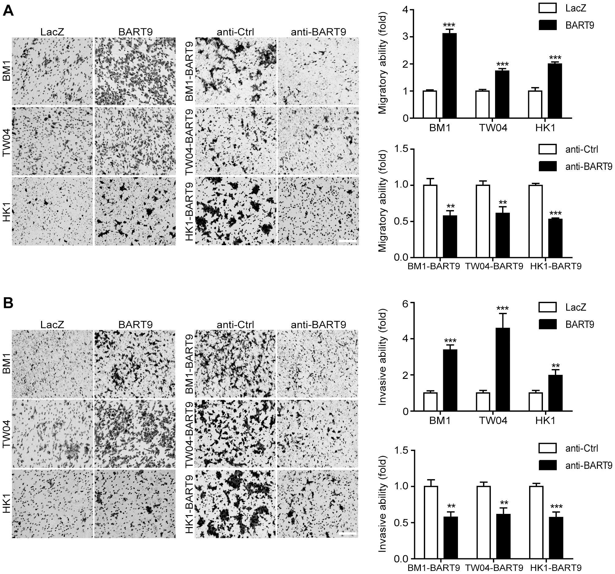 miR-BART9 promotes the migration and invasion of EBV-negative NPC cells.