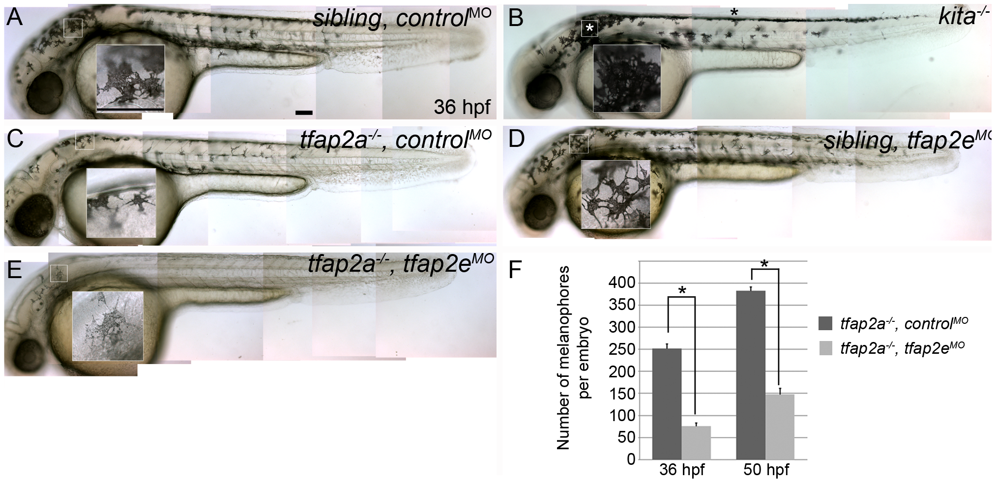<i>tfap2e</i> morpholino has no effect in wild-type embryos, but disrupts melanophore differentiation in <i>tfap2a</i> mutants.