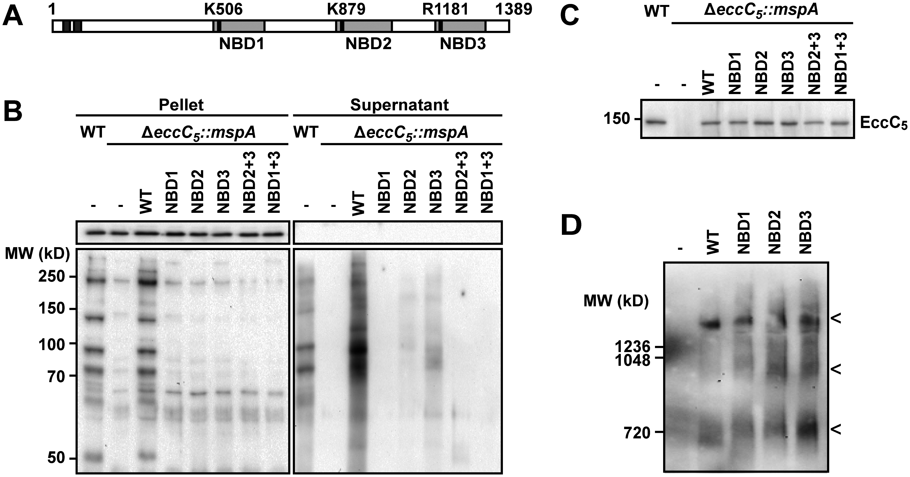 Role of NBDs domains of EccC5 in ESX-5 dependent secretion and membrane complex assembly.