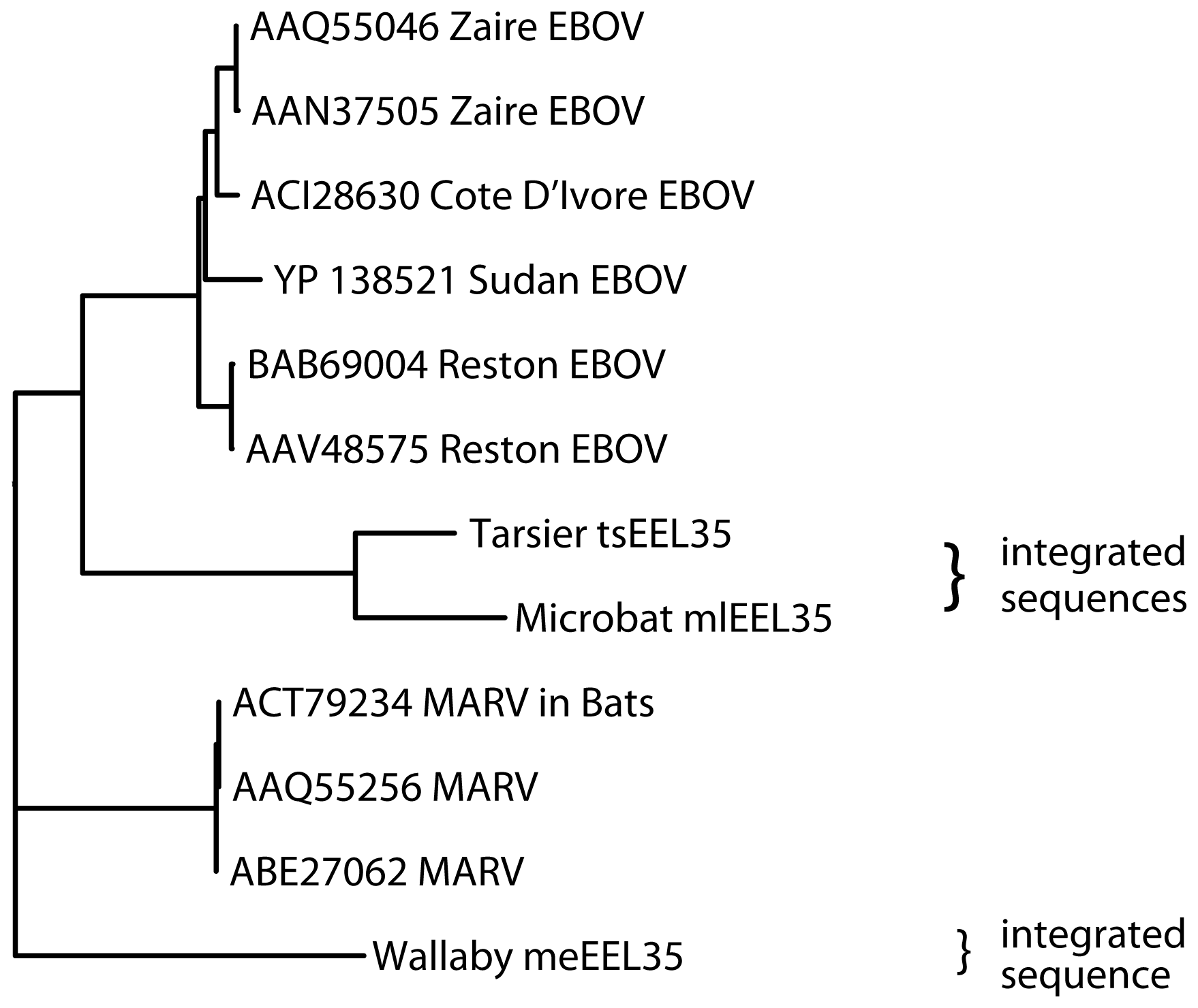 Phylogeny of endogenous Filovirus VP35 - like gene integrations.