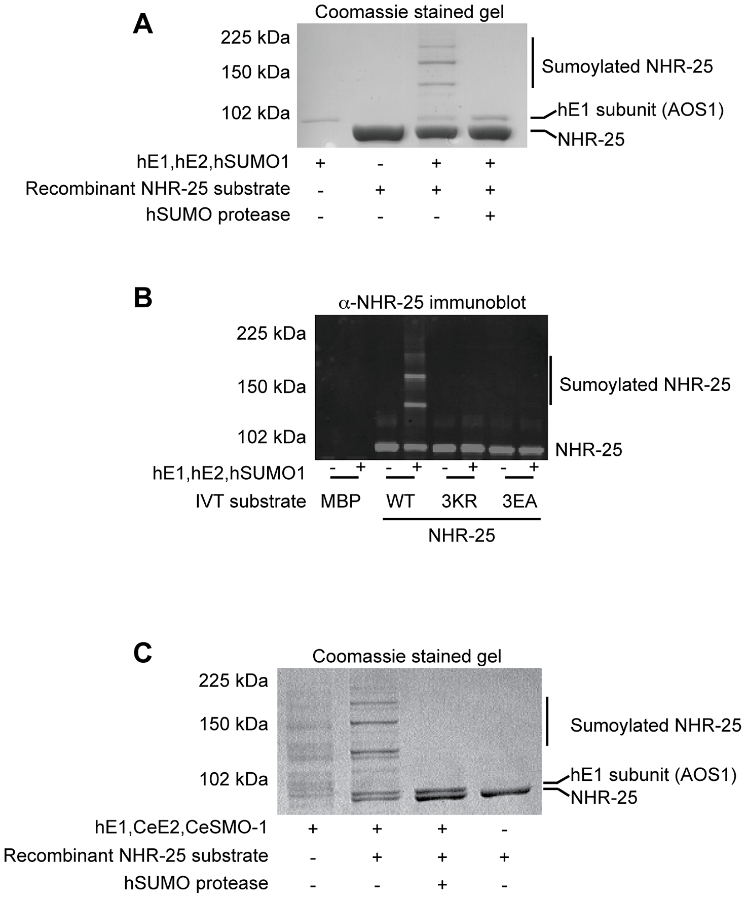 <i>In vitro</i> sumoylation of NHR-25.