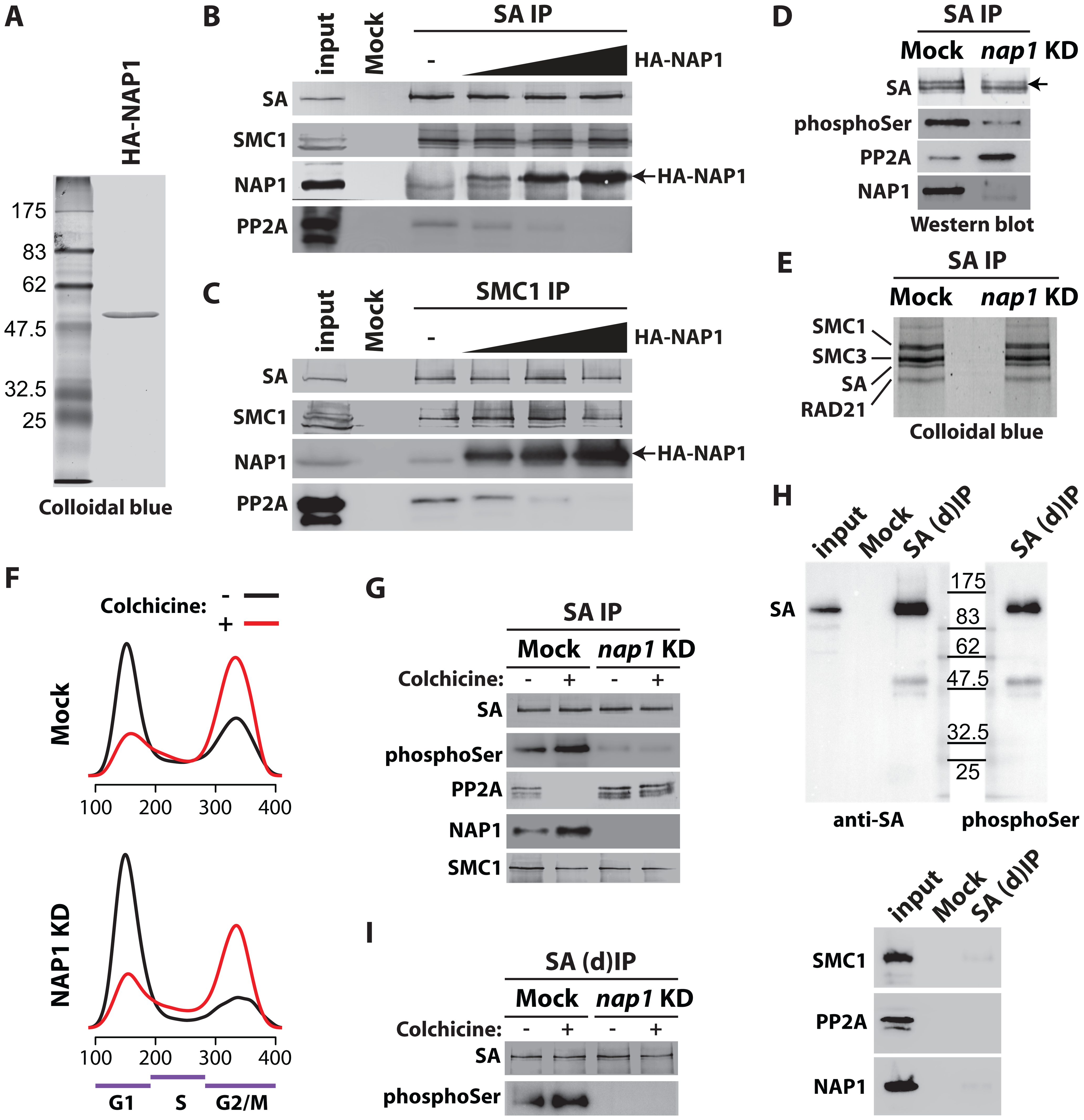 NAP1 regulates SA phoshorylation levels by counteracting PP2A association with chromosomal cohesin during mitosis.