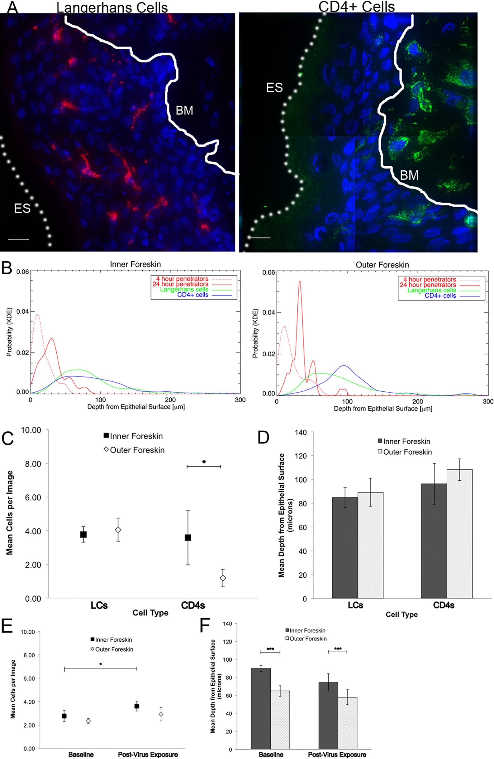 Tissue resident immune cells in foreskin tissues.