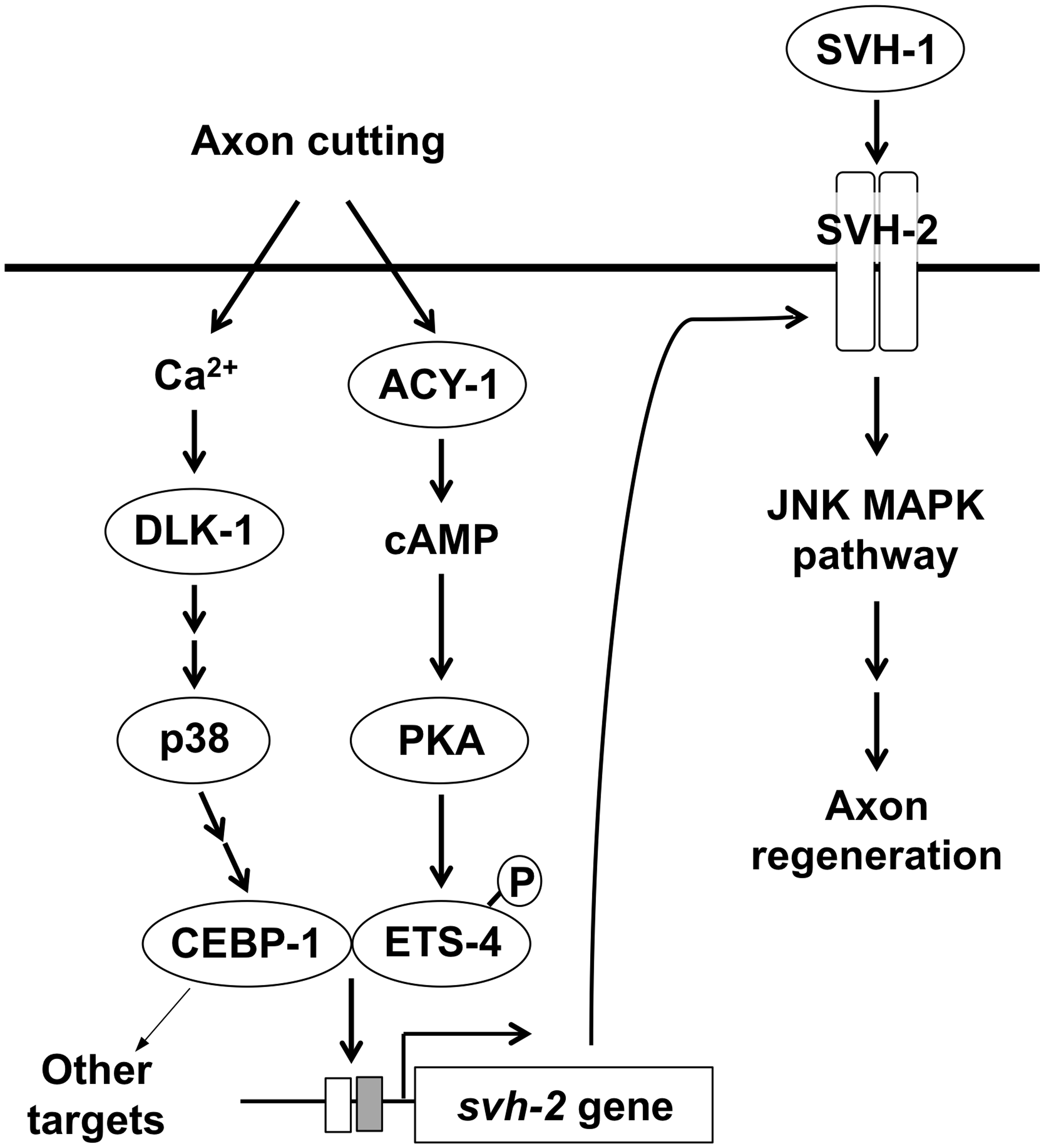 Schematic model for the regulation of JNK MAPK pathway by Ca<sup>2+</sup>–p38 MAPK and cAMP signaling pathways in axon regeneration.