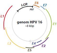 Genom HPV 16.