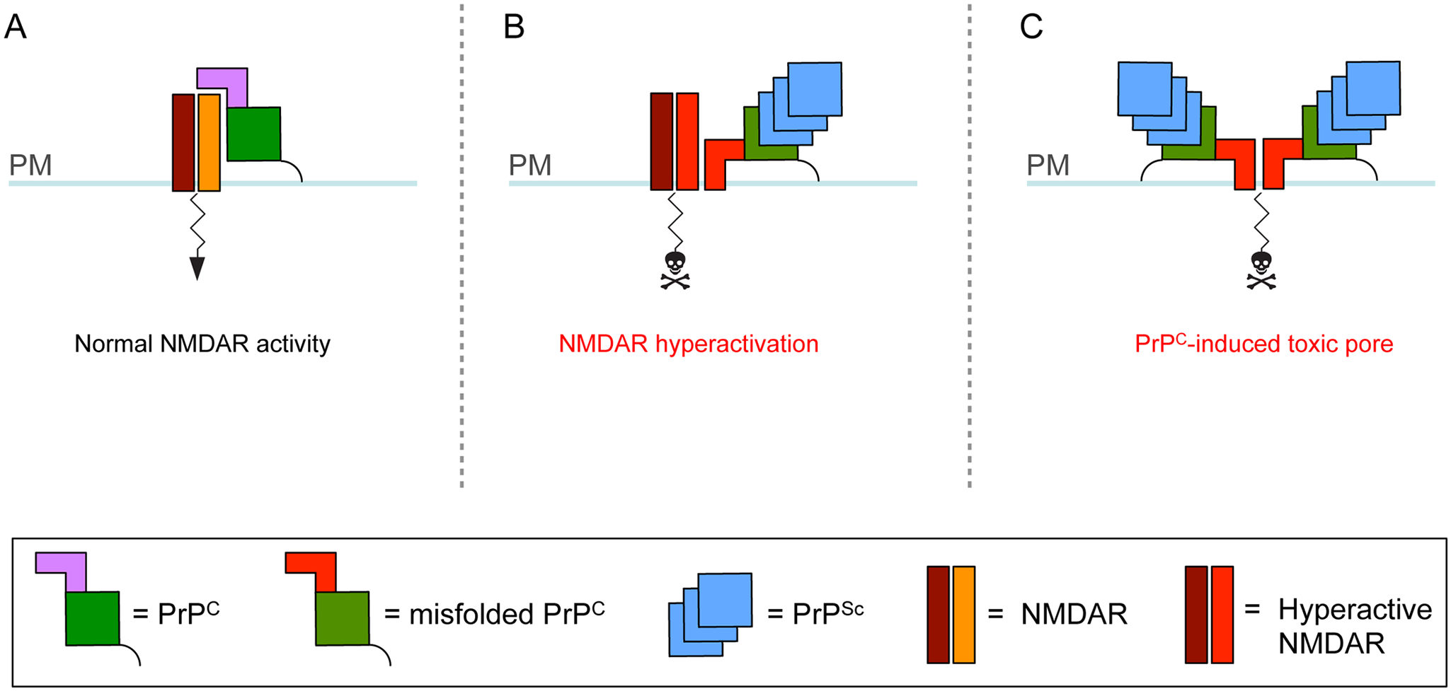 Theoretical model for how cell surface PrP<sup>C</sup> misfolding could result in neurotoxicity.