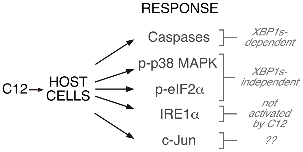 Role of XBP1s in C12-mediated cellular responses.