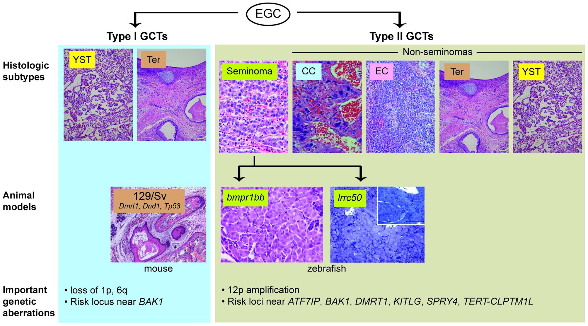 Animal models of TGCT and correlation to human histologic subtypes.