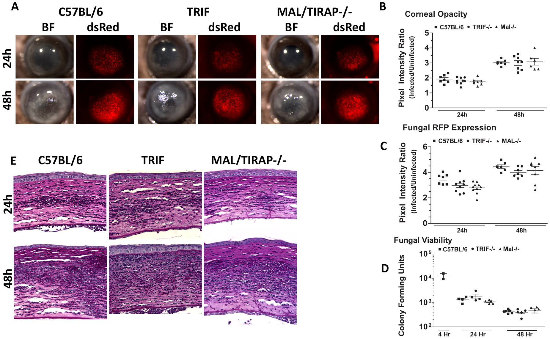 The role of TIRAP and TRIF in <i>A. fumigatus</i> keratitis.