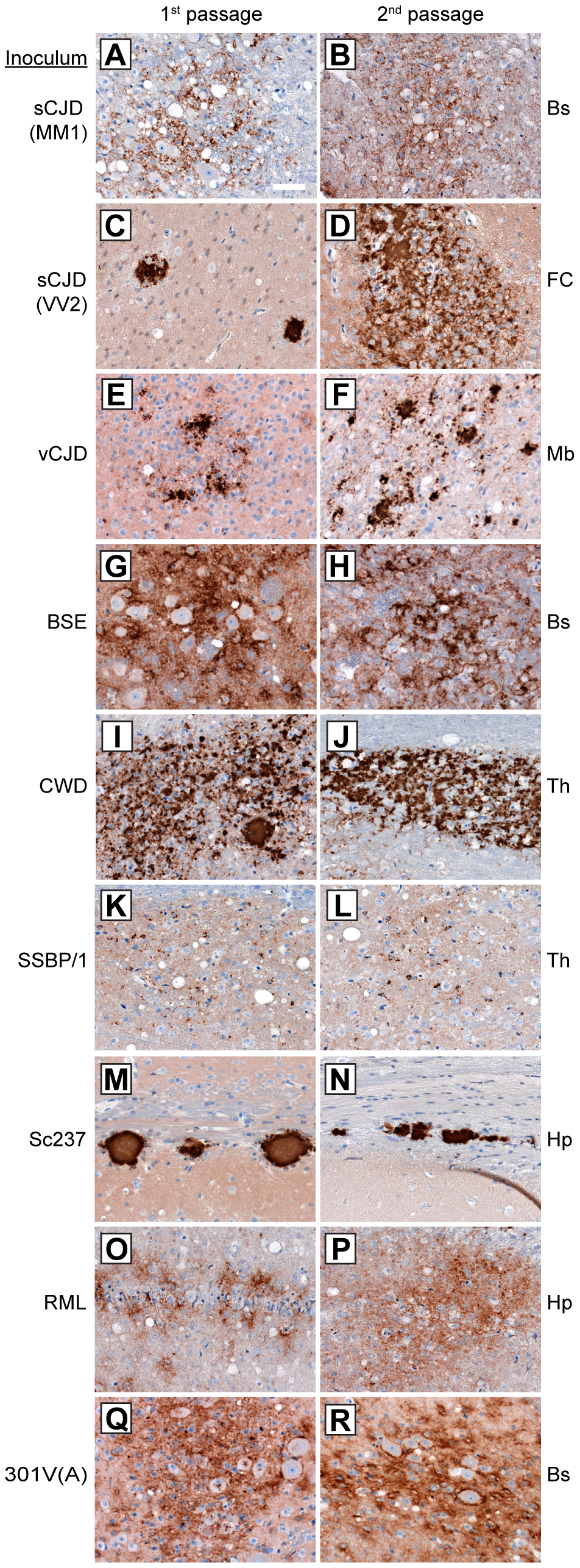 Patterns of cerebral PrP<sup>Sc</sup> deposition in Tg(M109) mice inoculated with diverse prion isolates.