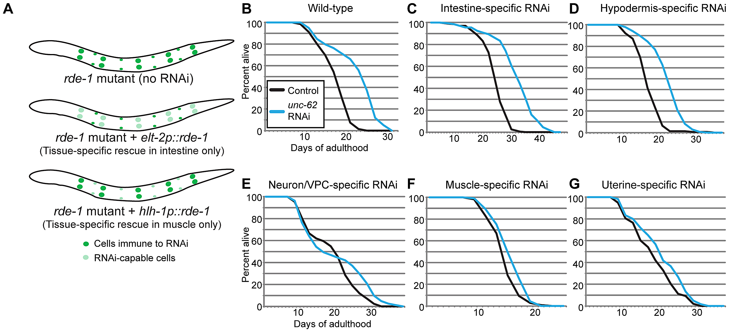 UNC-62 knockdown extends lifespan in intestinal and hypodermal tissues.