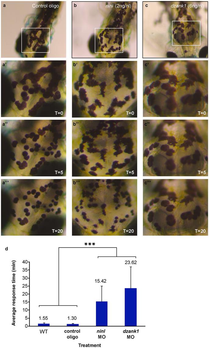 <i>ninl</i> and <i>dzank1</i> knockdown results in epinephrine-induced melanosome retraction delay.