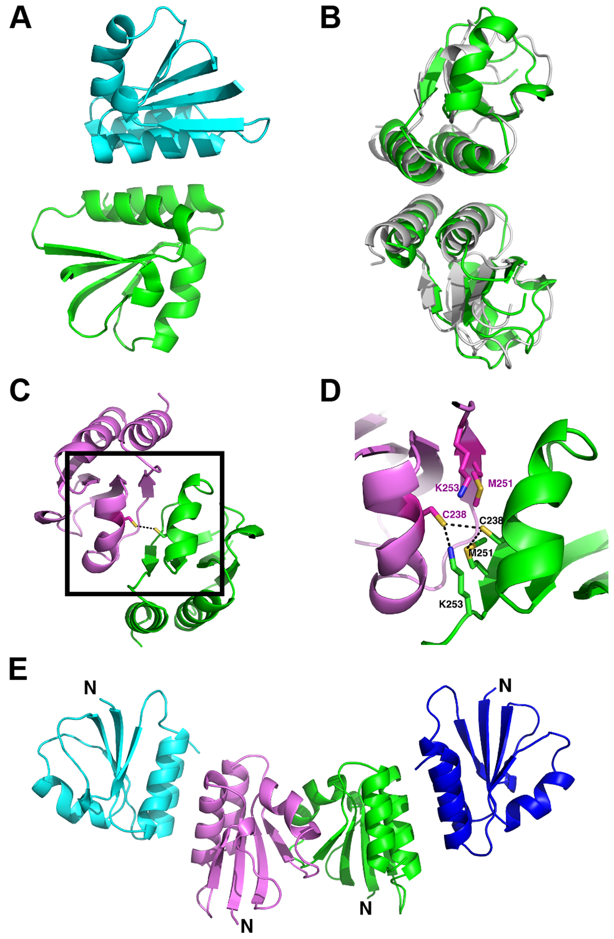 Overview of the oligomerization modes observed in the crystal structure of the proteolytic fragment of endolysin CD27L.