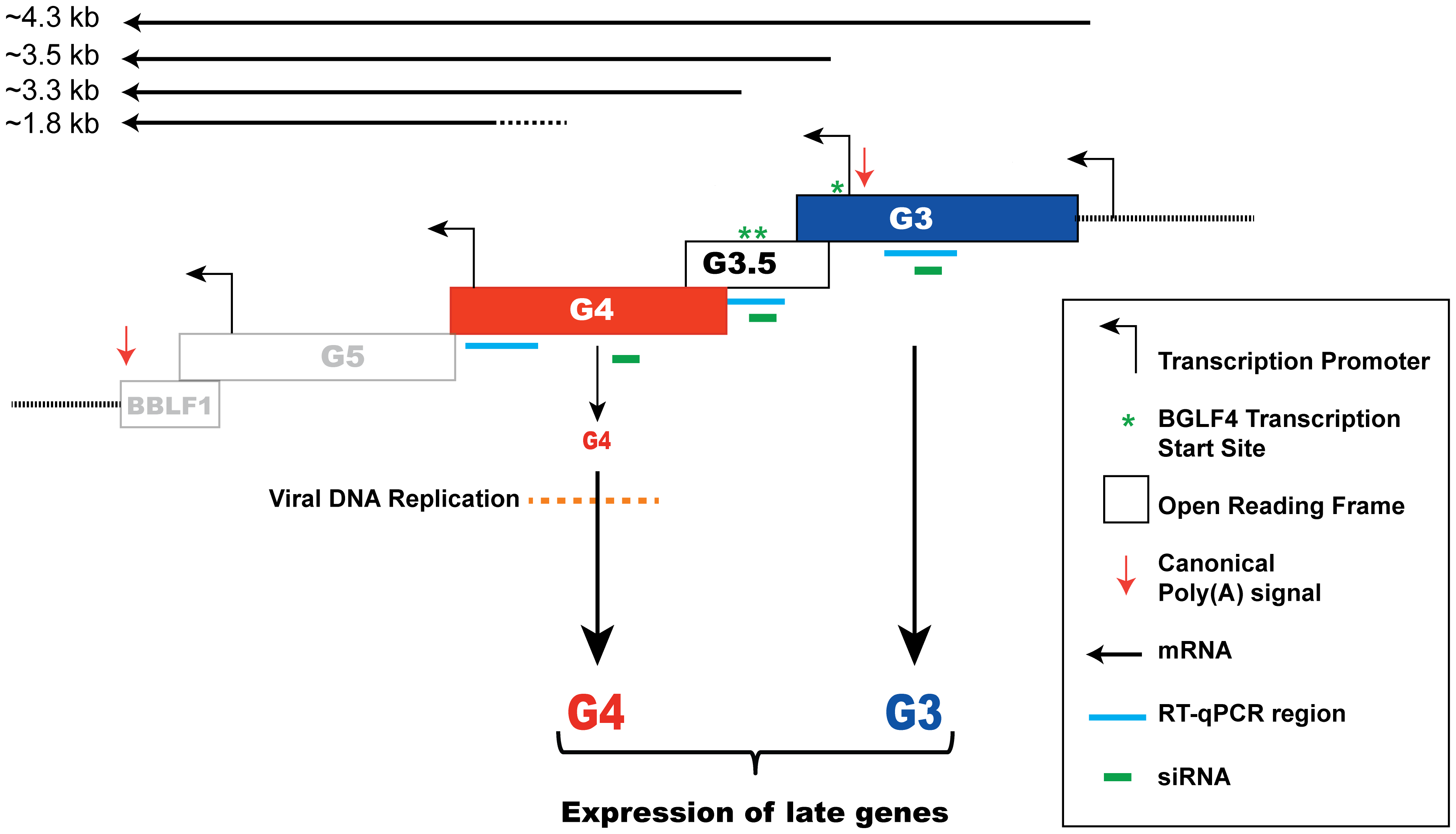 A model depicting regulation of late gene expression by the G-locus.