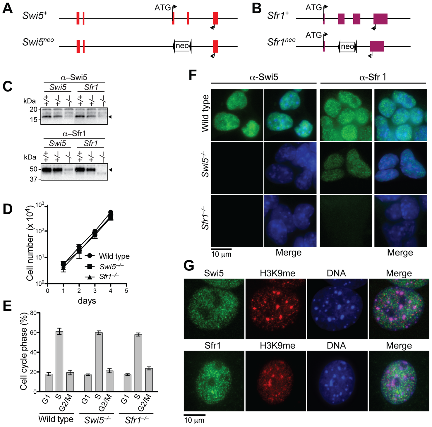 Swi5 and Sfr1 are mutually interdependent for their stability.