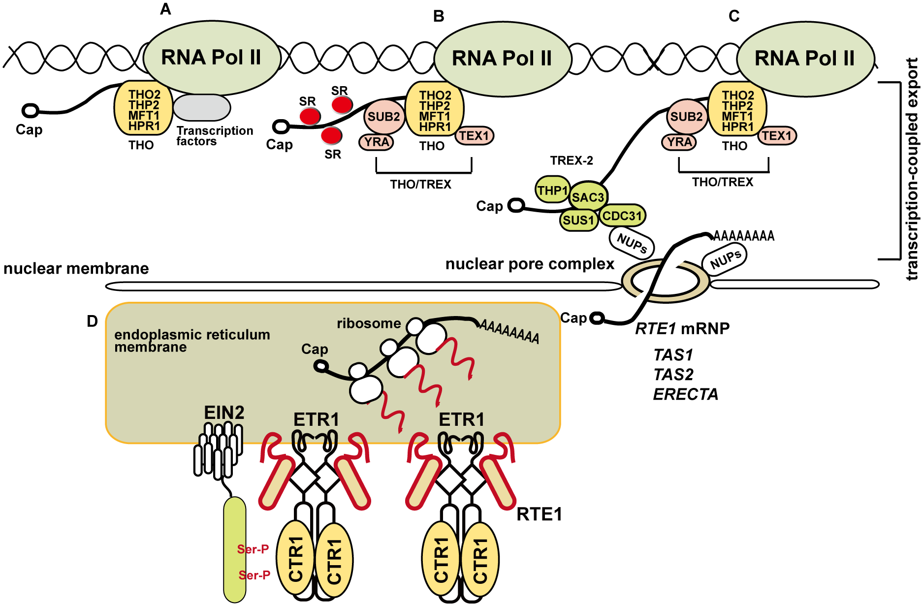 A model for the involvement of the THO/TREX complex component HPR1 in <i>RTE1</i> transcription and ethylene signaling regulation.