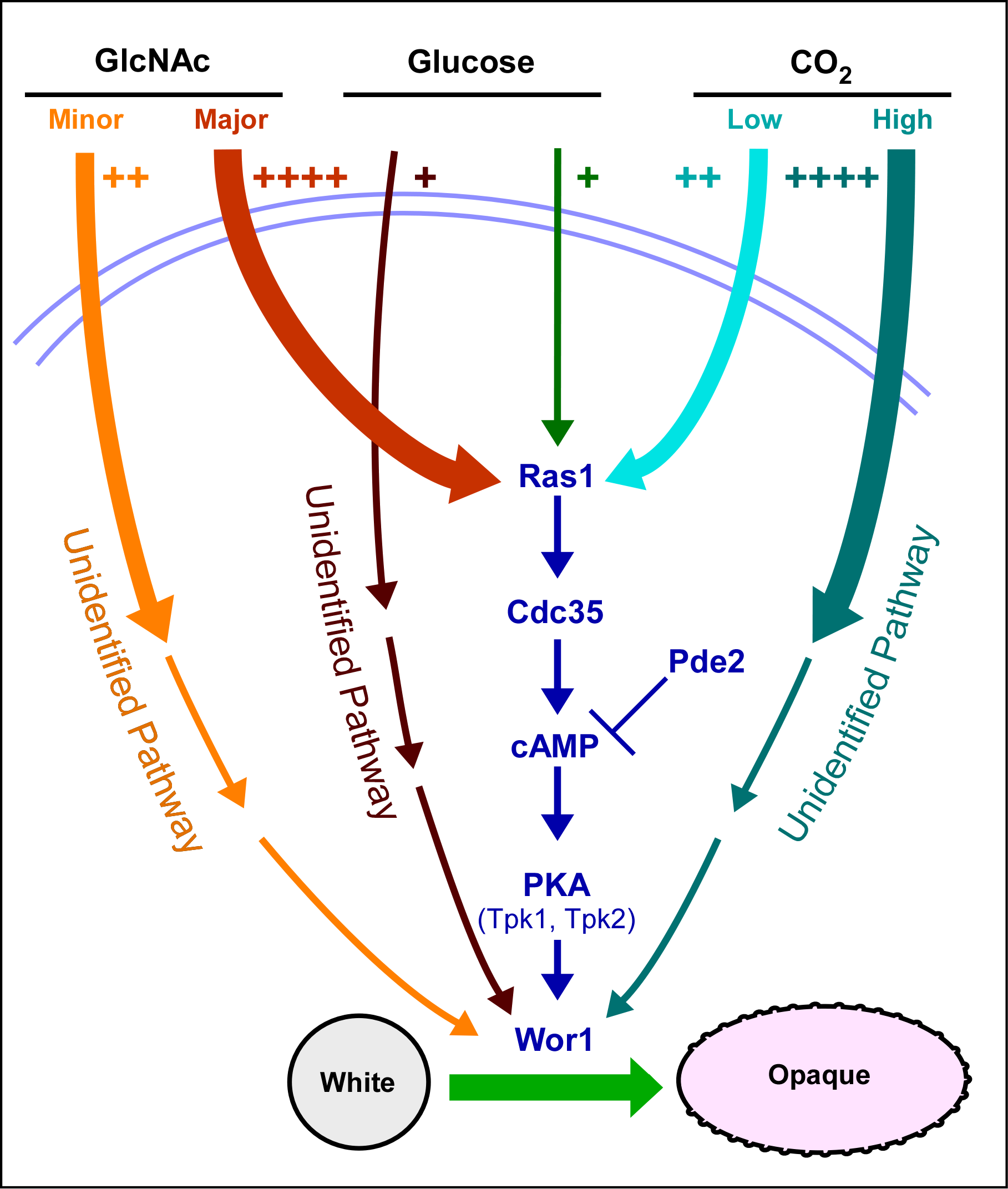 A model of the regulatory circuitry involved in the induction of the white to opaque switch.