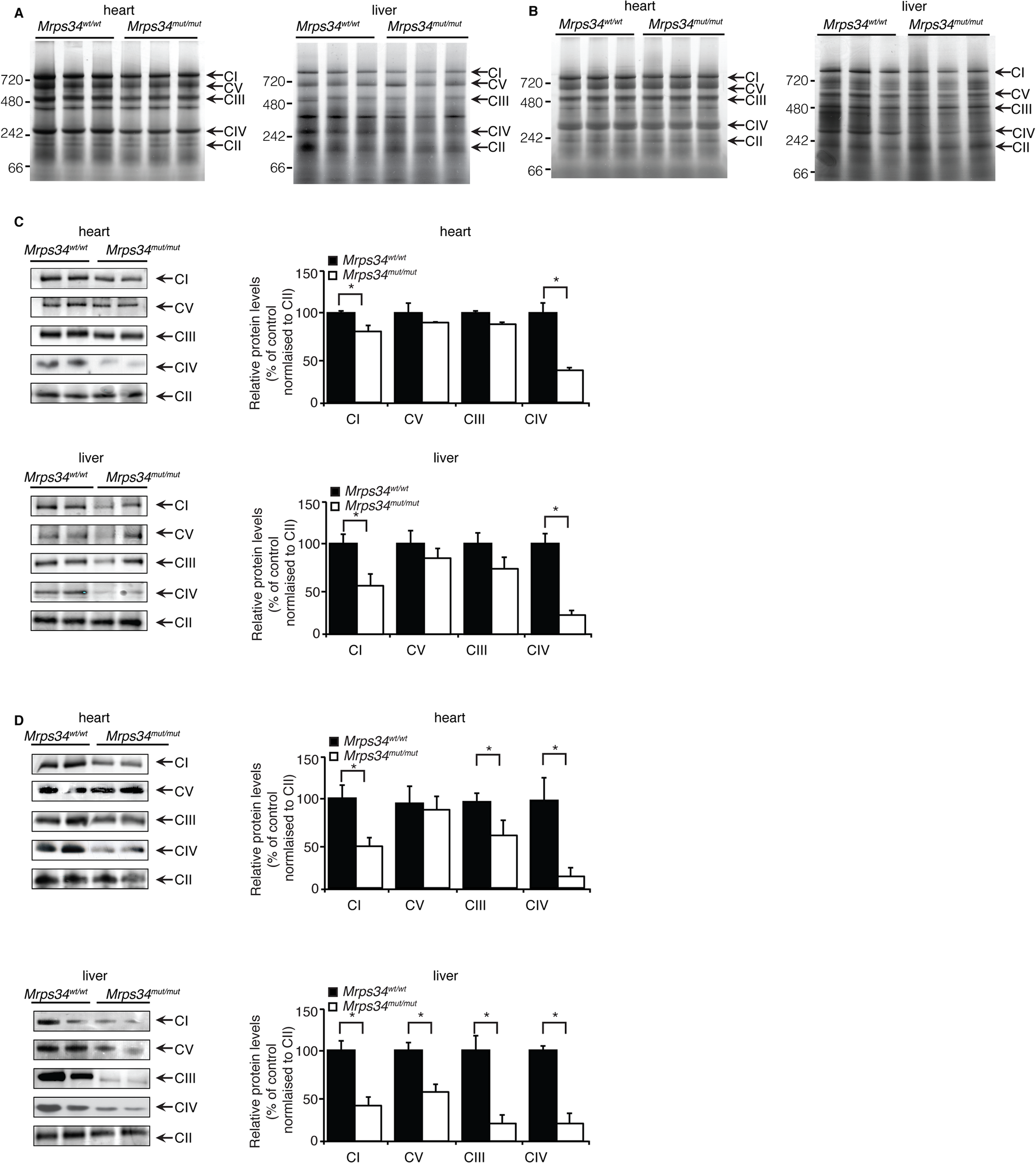 Reduced MRPS34 affects the abundance of mitochondrial respiratory complexes.
