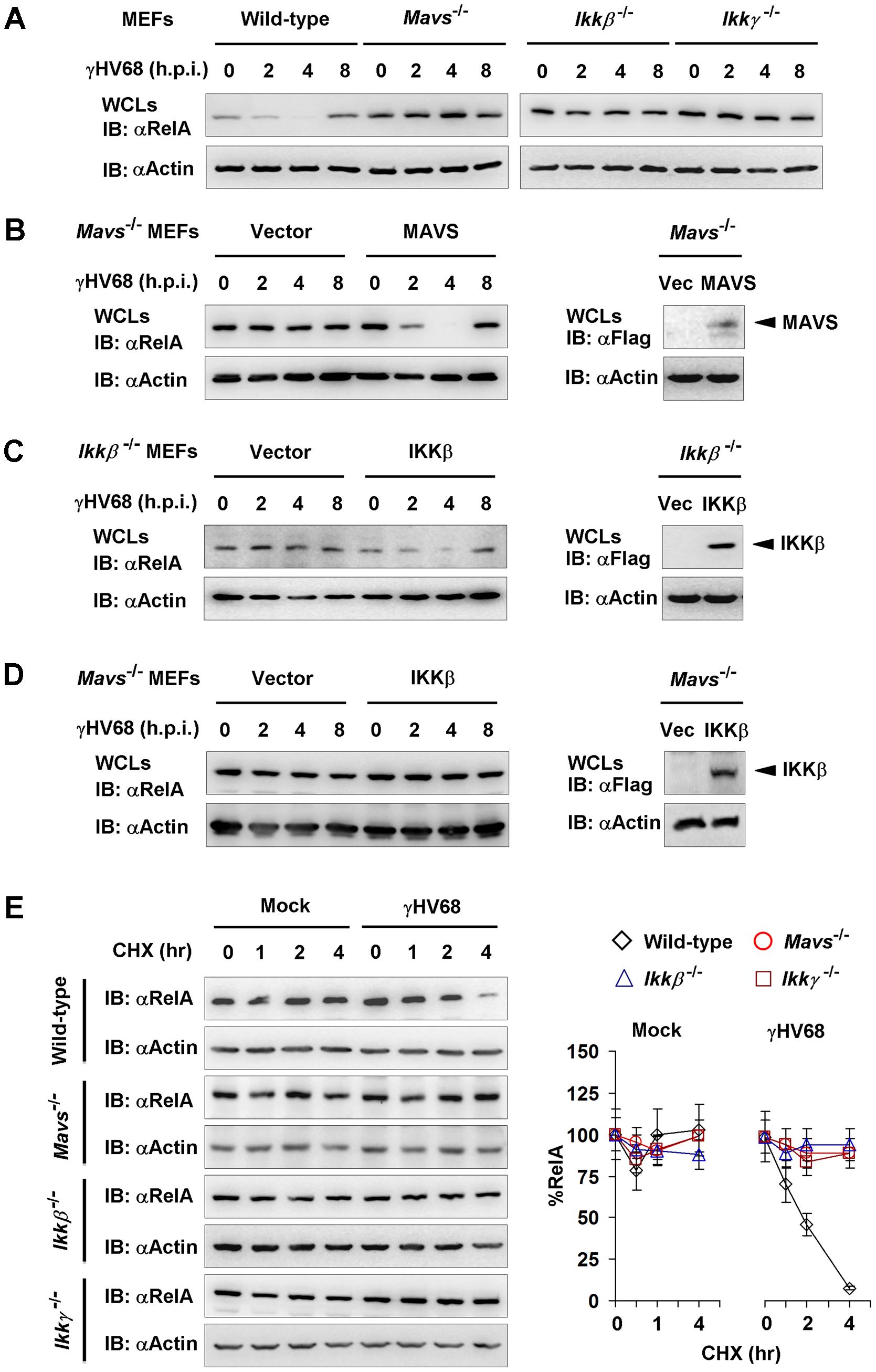 γHV68 infection induces transient RelA degradation in a MAVS- and IKKβ-dependent manner.