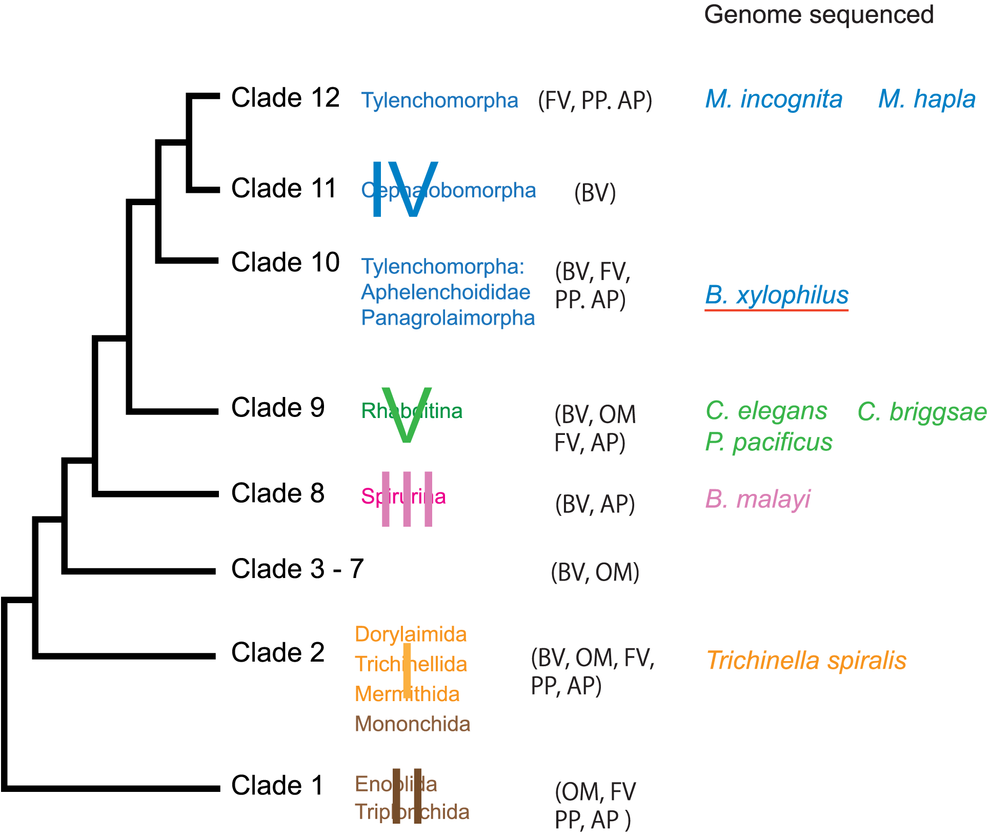 Major taxonomic groups of the phylum Nematoda and species whose genomes sequenced.