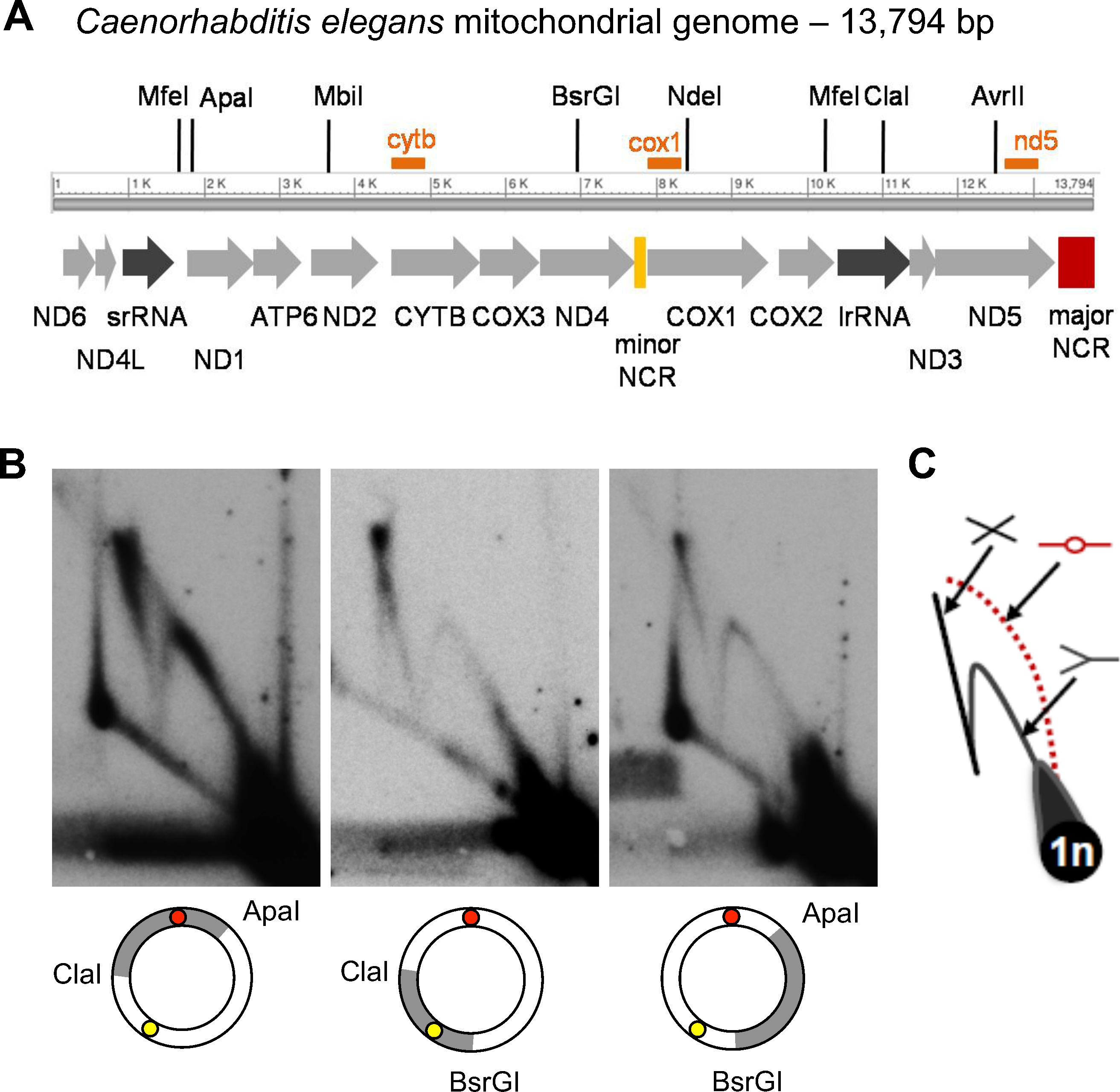 2DNAGE analysis of <i>C</i>. <i>elegans</i> mitochondrial DNA reveals prominent replication and recombination intermediates but no initiation bubbles.