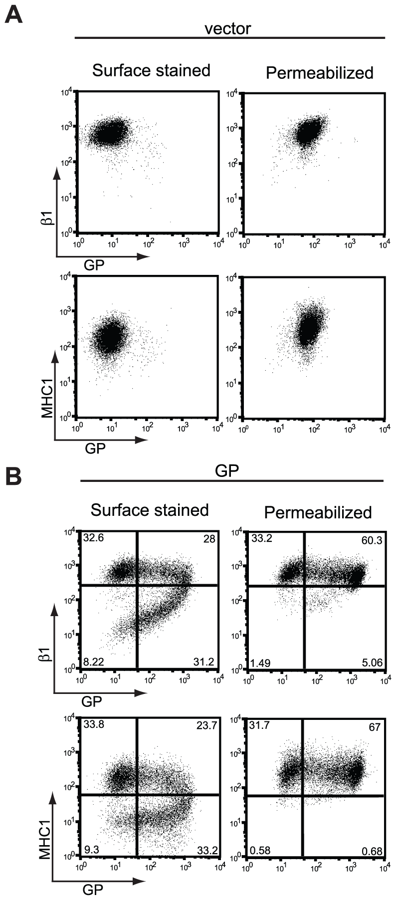 Steady-state levels of β1 integrin and MHC1 are unchanged in GP-expressing cells.