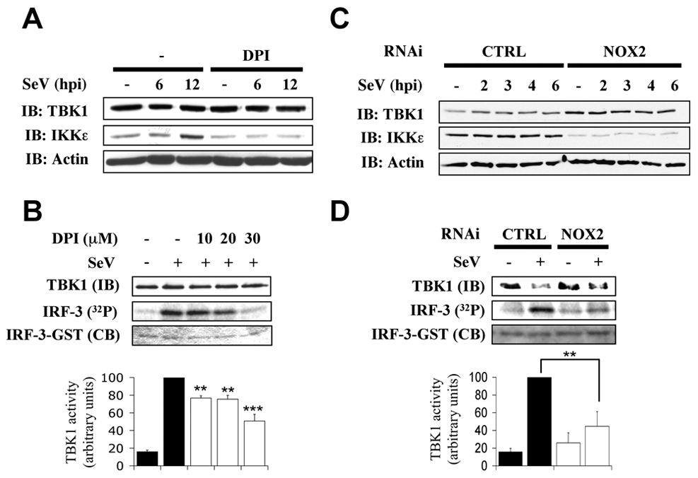 NOX2 is essential for IKKε expression and SeV-induced TBK1 activity.