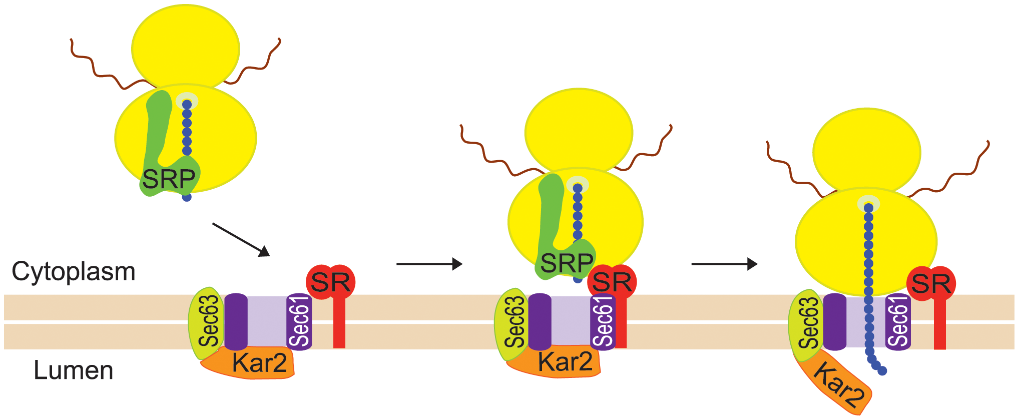 Co-translational targeting of mRNA to the ER is mediated by SRP.