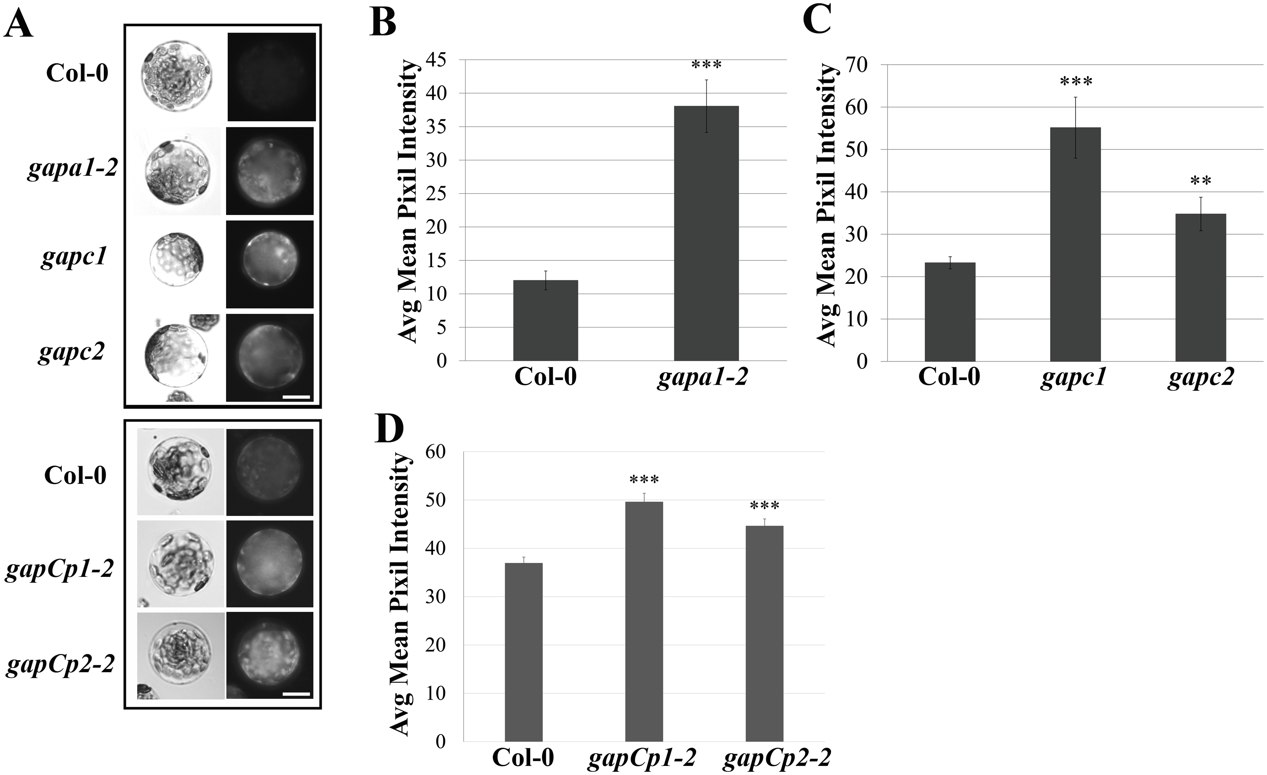 <i>GAPDH</i> knockout lines exhibit an increase in basal intracellular ROS.