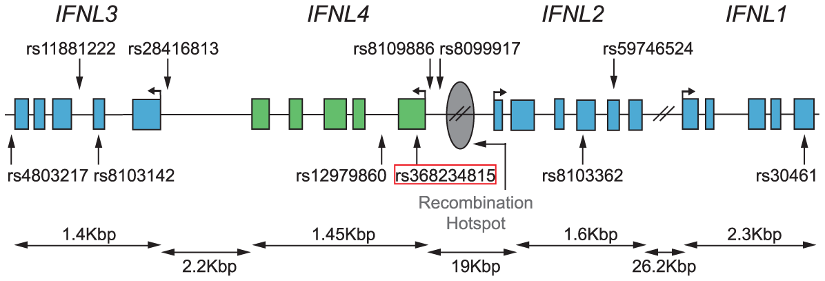 "Map of the <i>IFNL</i> locus with locations of relevant SNPs (from <em class=""ref""><b>Table 2</b></em>) and the inferred recombination hotspot based on recombination rates from <em class=""ref"">[60]</em>."