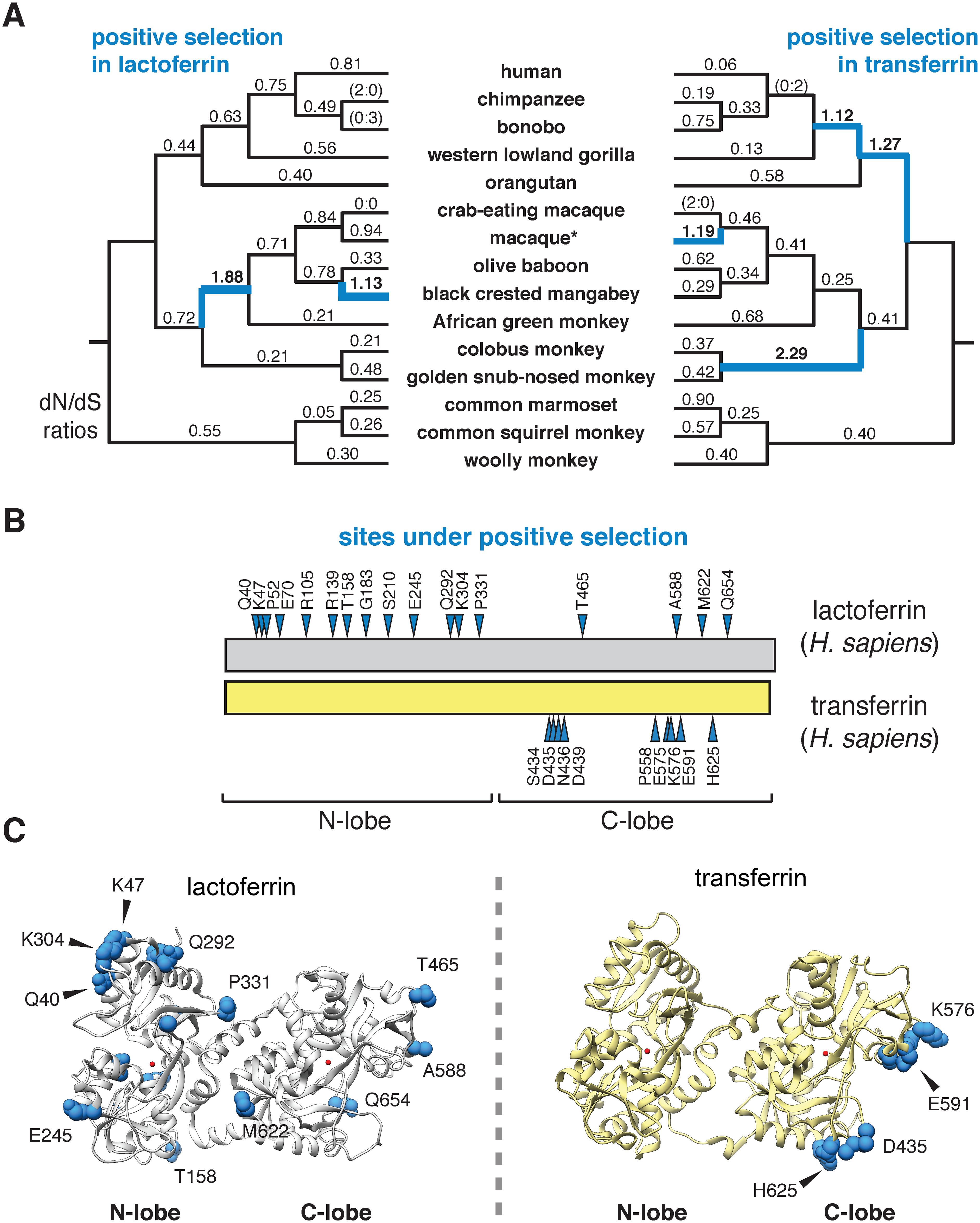 Dynamic evolution of the lactoferrin N lobe in primates.