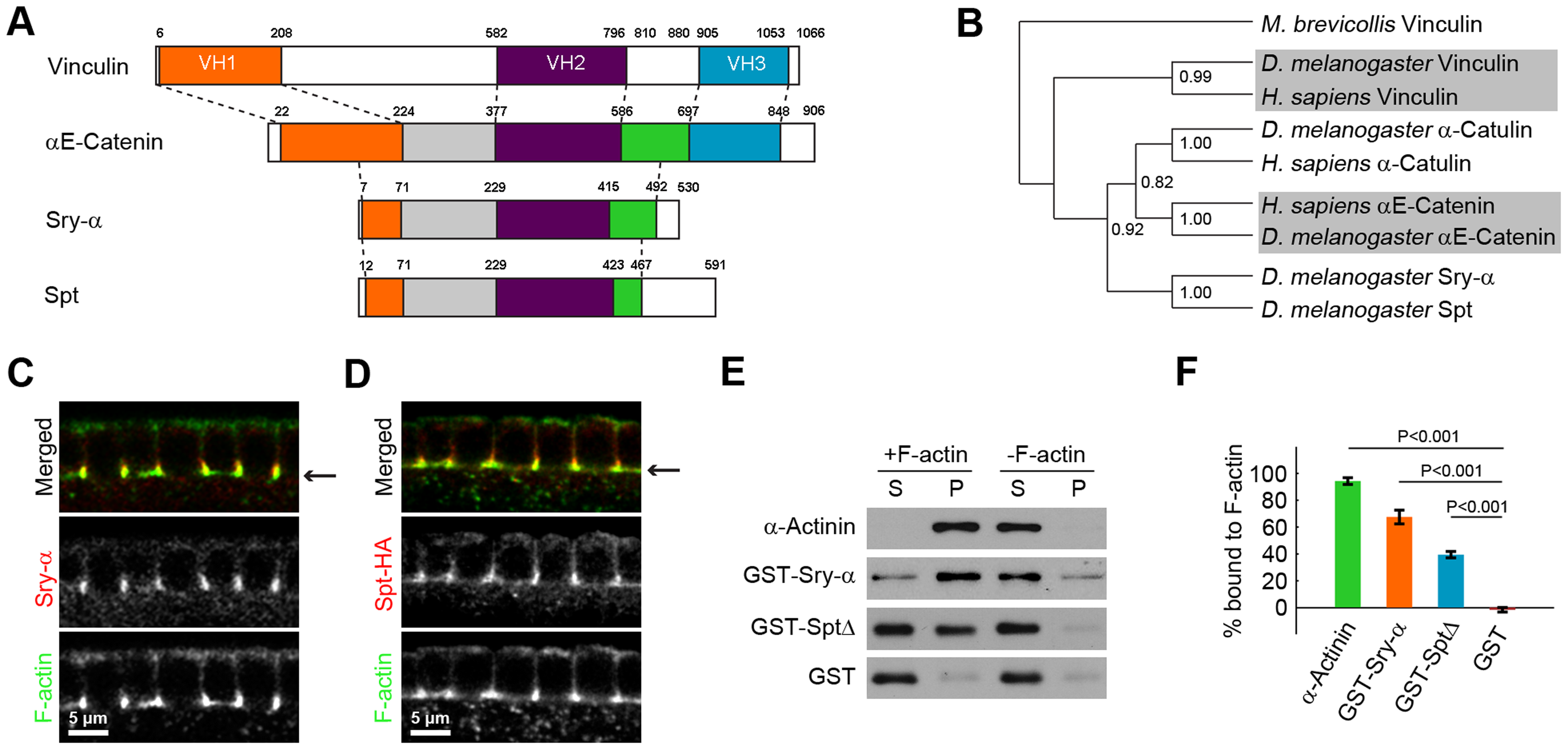 Sry-α and Spt are paralogs with redundant F-actin binding activity.