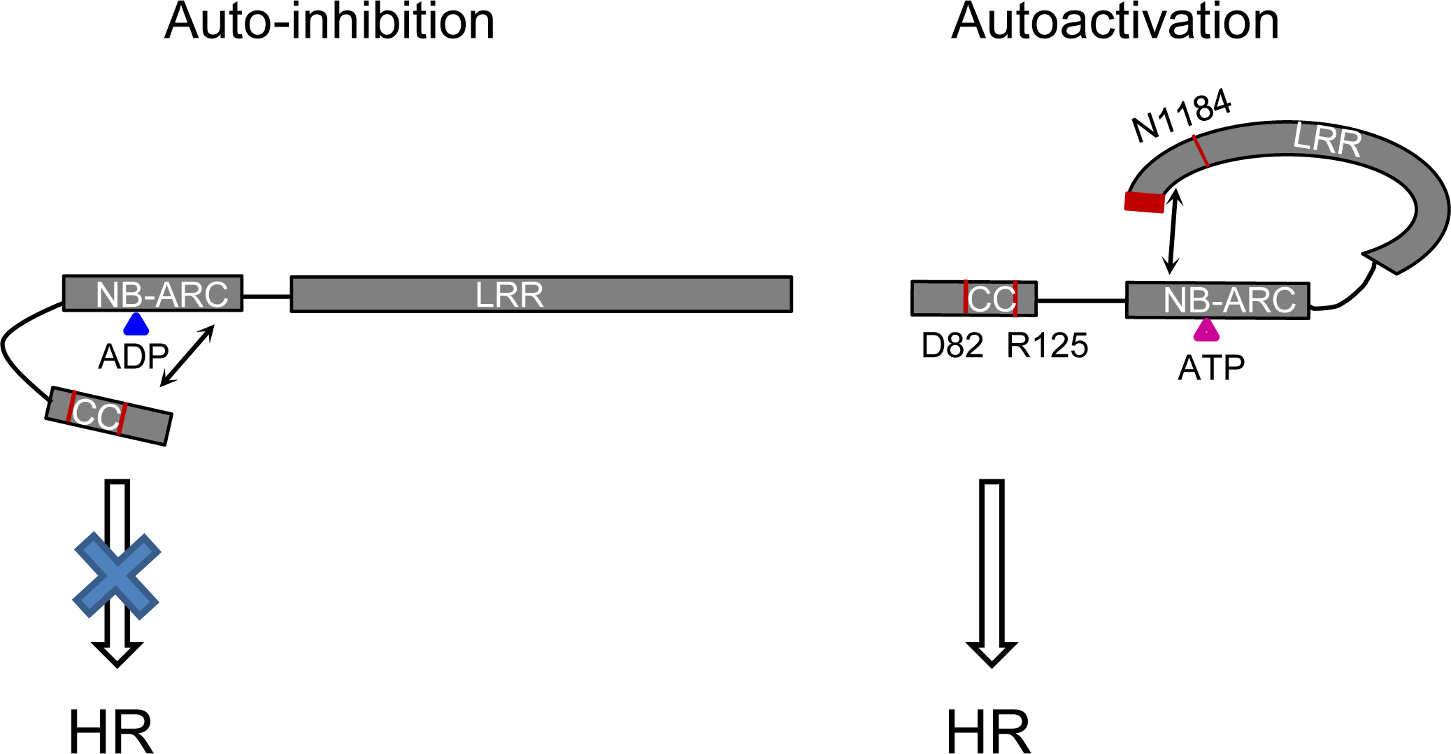 Model of the intra-molecular interactions controlling auto-inhibition or auto-activation in Rp1 proteins.