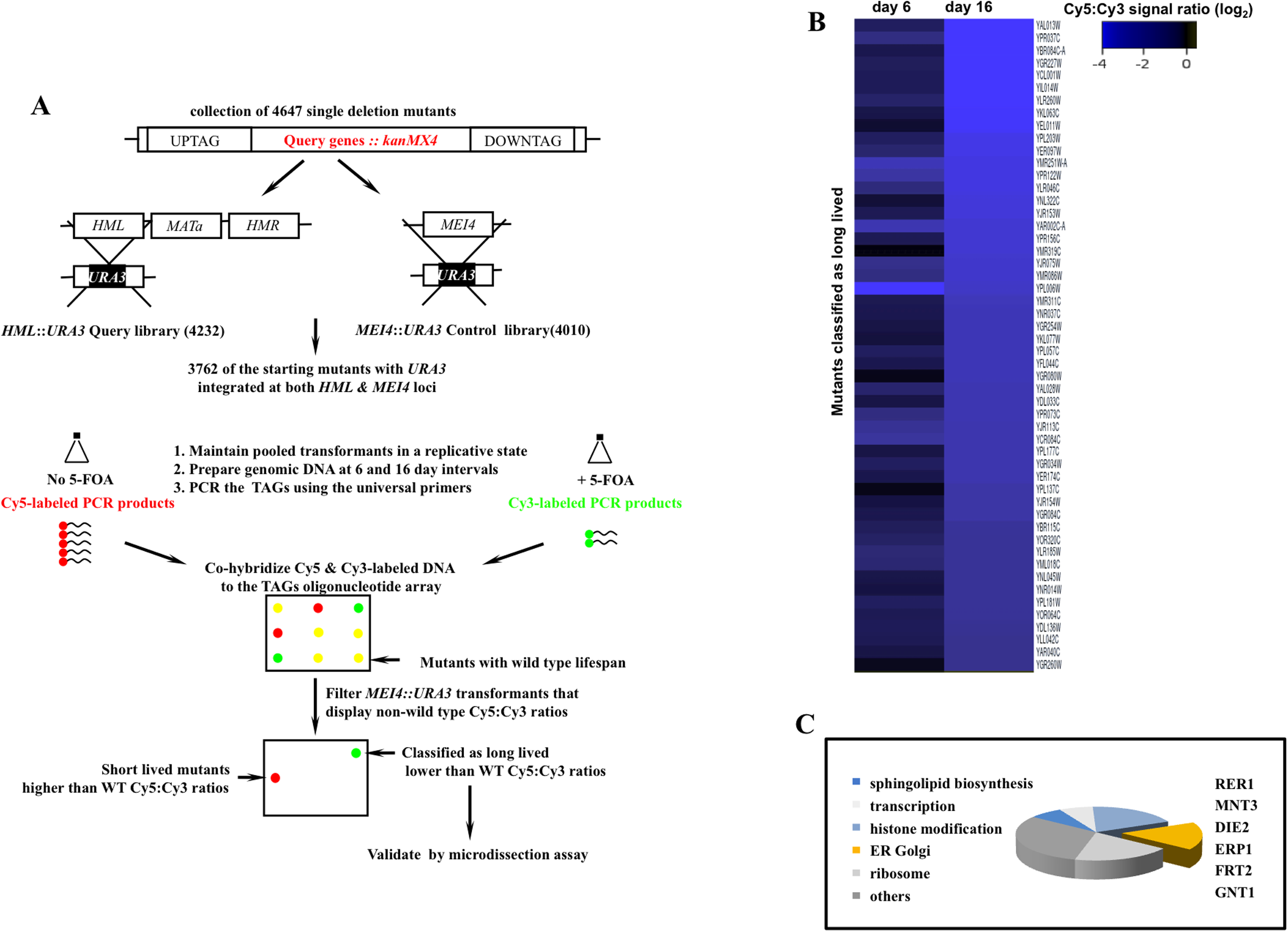 A genome scale screen for isolating mutants with extended mitotic lifespan in the yeast <i>S</i>. <i>cerevisiae</i>.