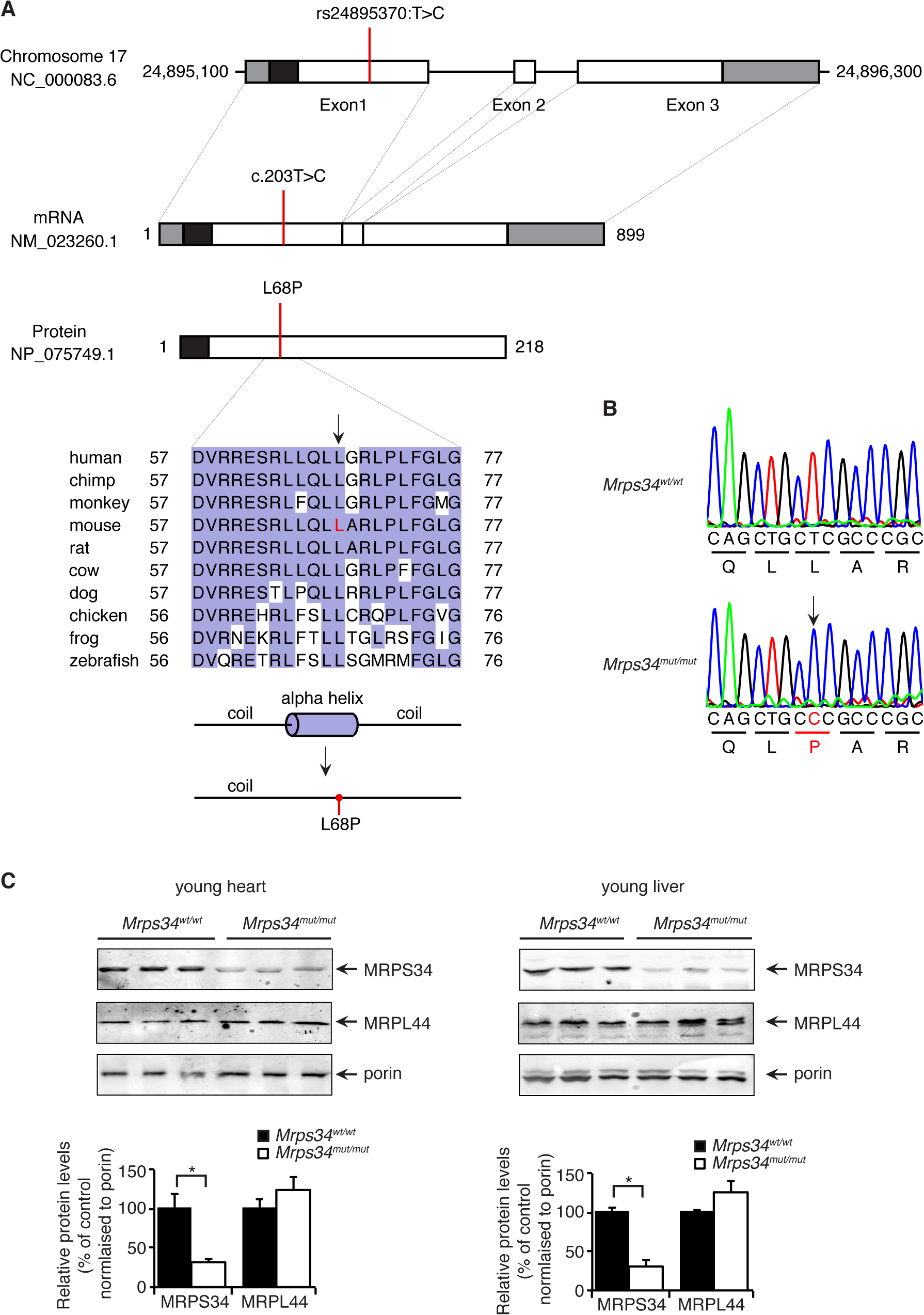 A homozygous point mutation in the <i>Mrps34</i> gene causes a decrease in the MRPS34 protein.