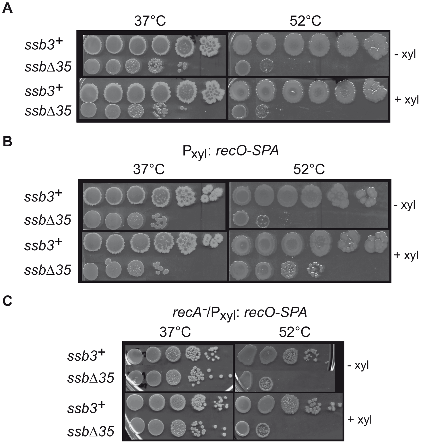 RecO overexpression suppresses temperature-sensitive growth of <i>ssbΔ35</i> cells.