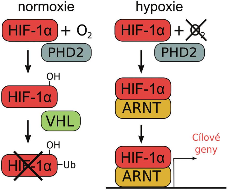 Schéma regulace aktivity HIF-1α podjednotky za rozdílné koncentrace kyslíku v buňce. Za normoxie je HIF-1α hydroxylován hydroxylázou PHD2 a označen pomocí VHL k degradaci. Za hypoxických podmínek dimerizuje HIF-1 α s ARNT a spouští expresi cílových genů.