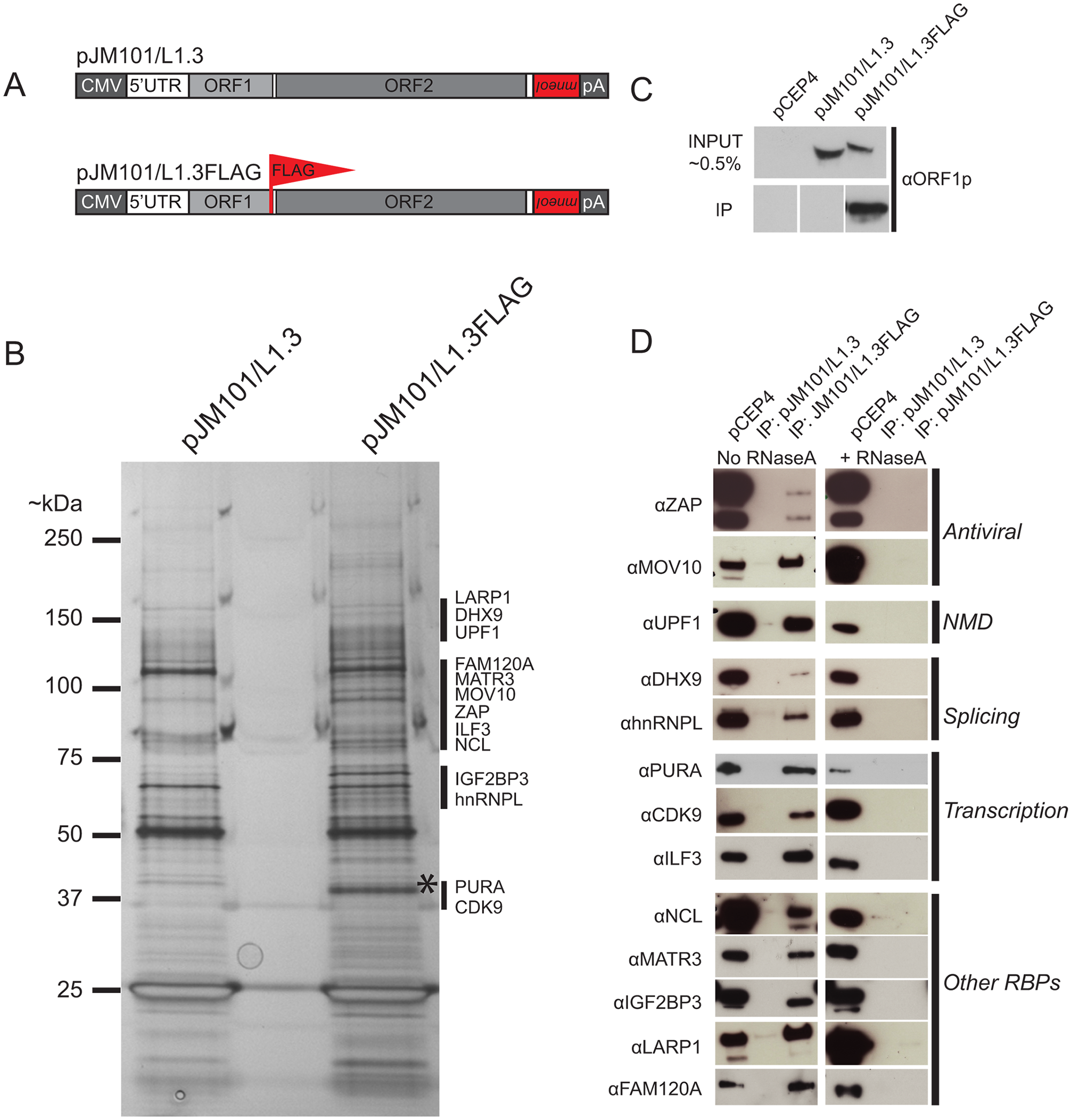The identification of host proteins immunoprecipitated with L1 ORF1p-FLAG.