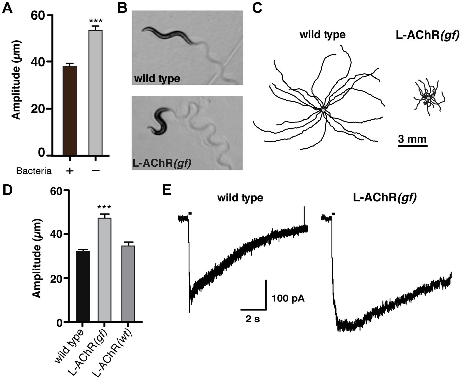 Enhanced L-AChR function increases neuromuscular signaling and alters the <i>C. elegans</i> locomotory pattern.