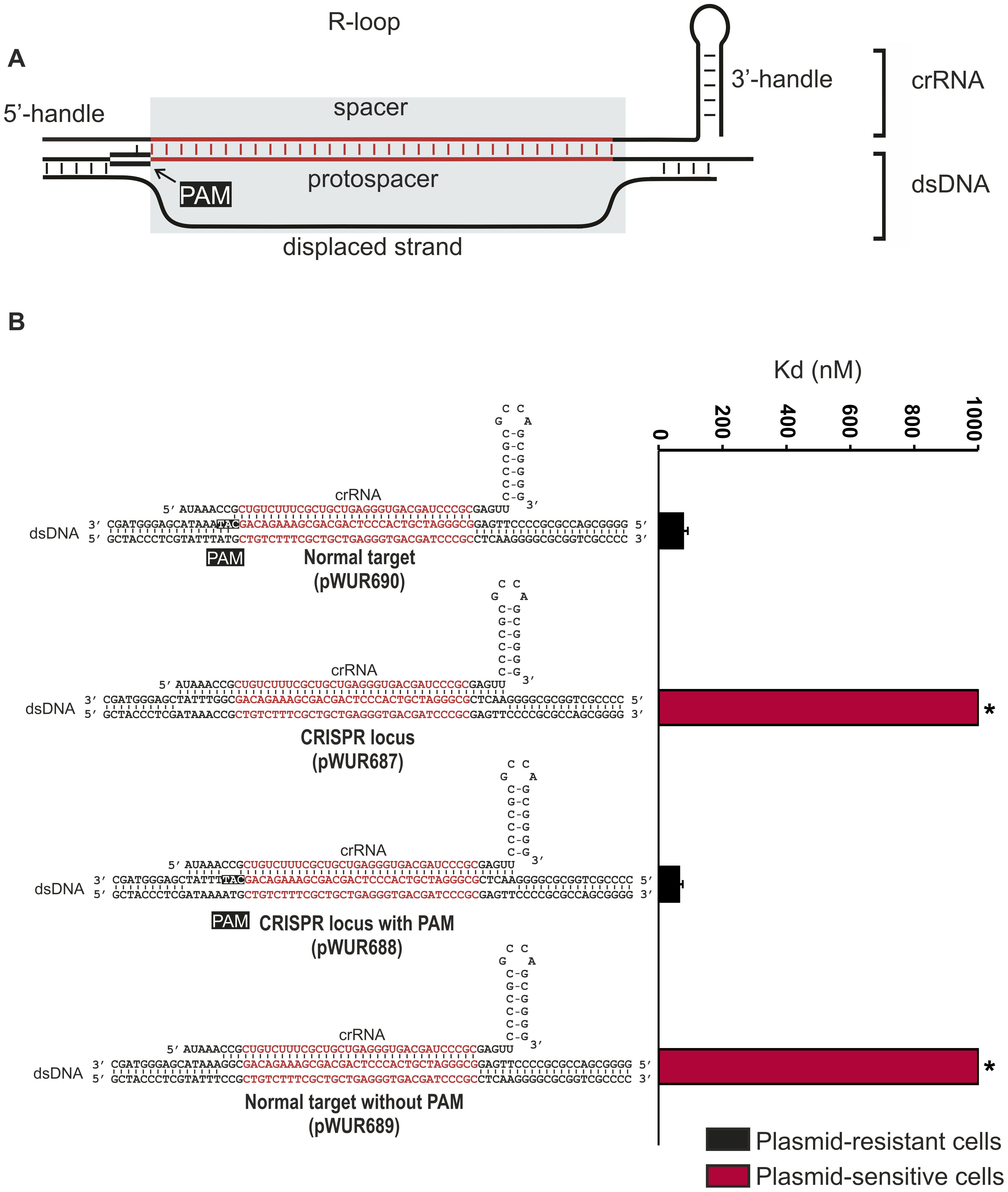 Potential base pairing between the crRNA repeat regions and protospacer flanking regions does not affect CRISPR-interference.
