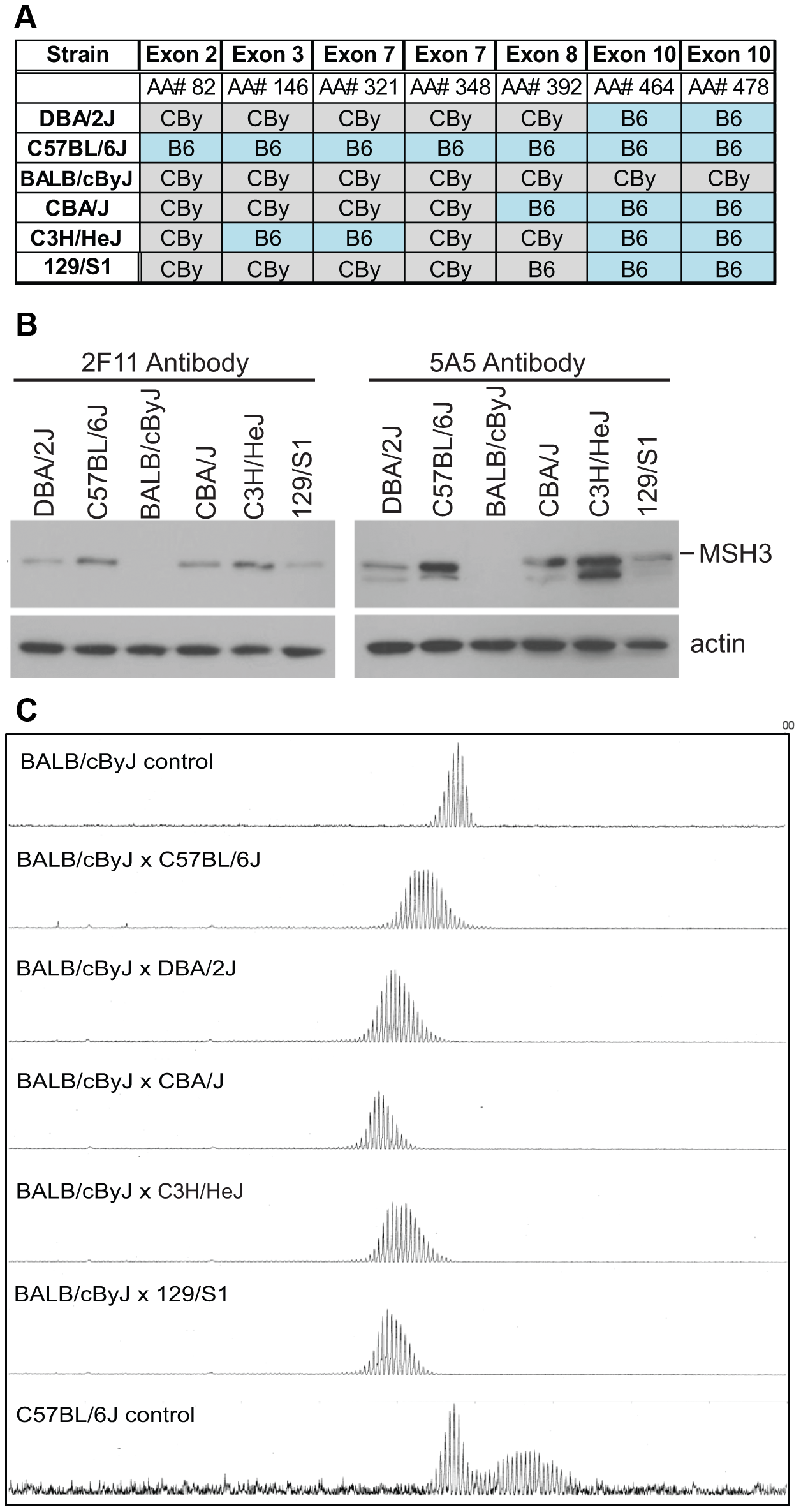 MSH3 coding polymorphisms and protein expression in different mouse strains.