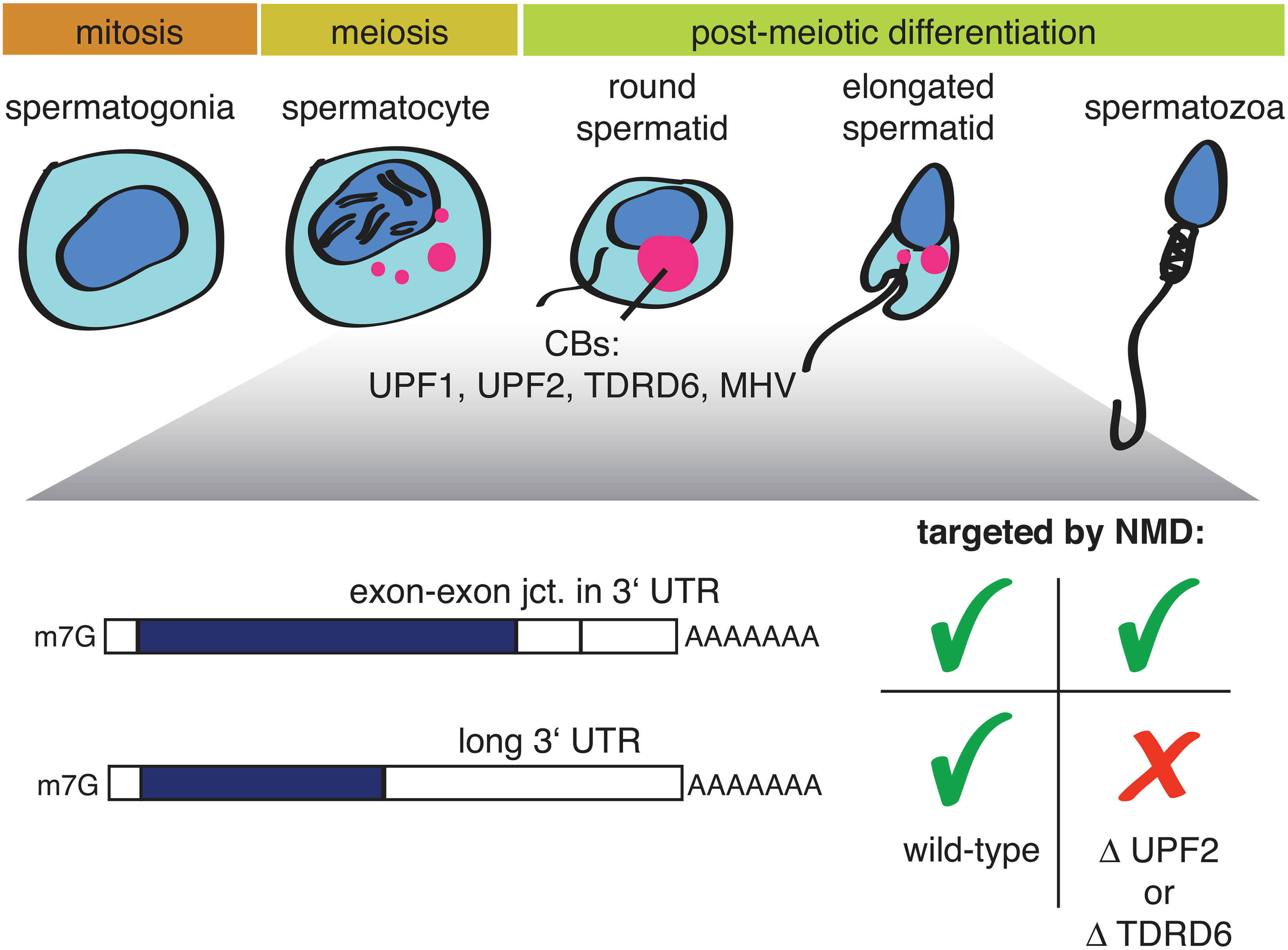 Illustration depicting mammalian spermatogenesis and the effect of a UPF2 or TDRD6 knockout on two different types of NMD-targeted mRNAs.