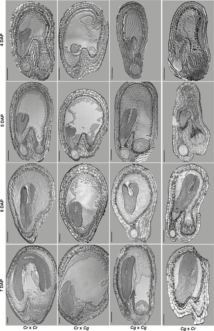 Hybrid seed incompatibility between <i>C</i>. <i>rubella</i> and <i>C</i>. <i>grandiflora</i> correlates with endosperm cellularization defects.