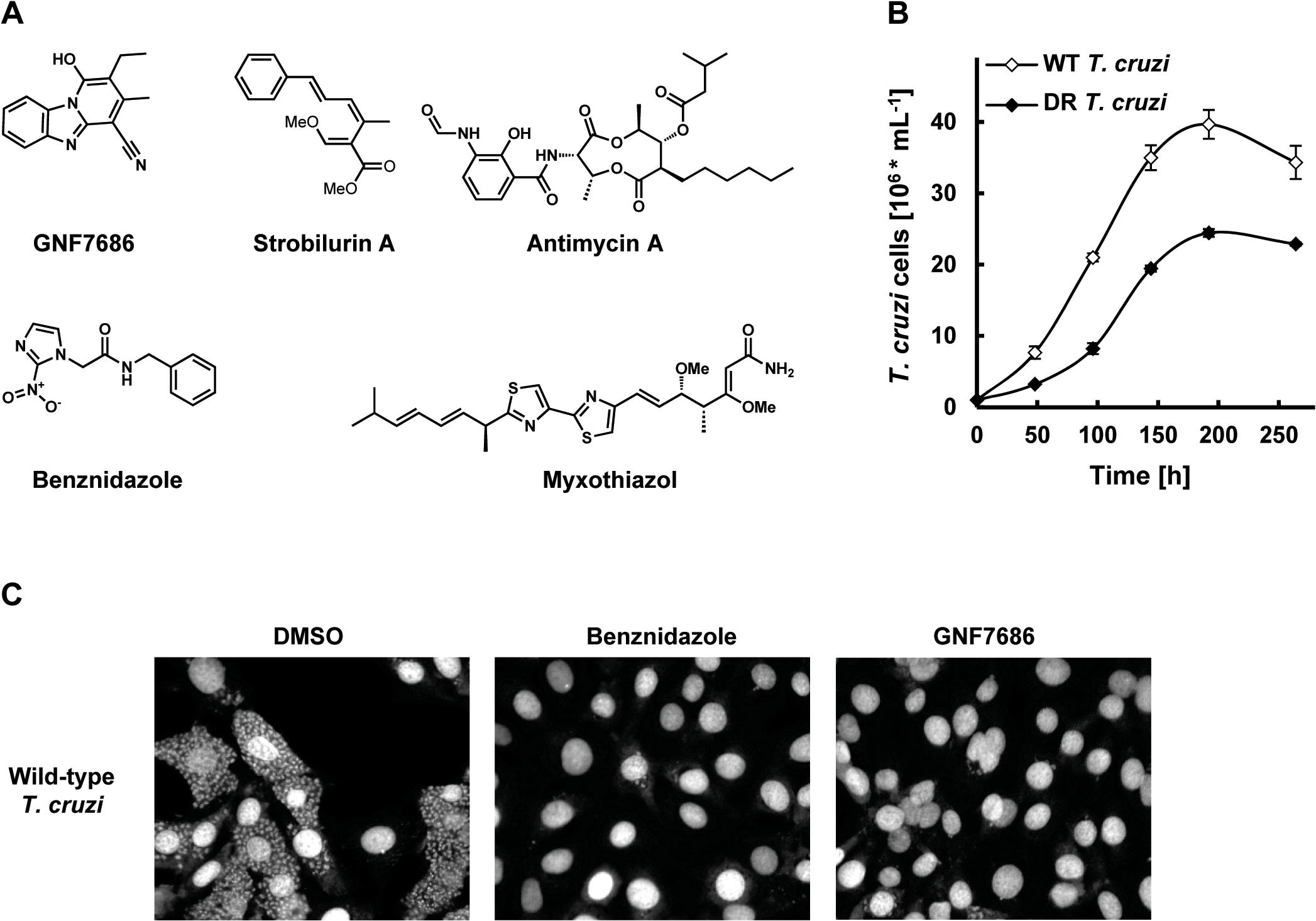 GNF7686 clears <i>T</i>. <i>cruzi</i> amastigotes from infected 3T3 cells.