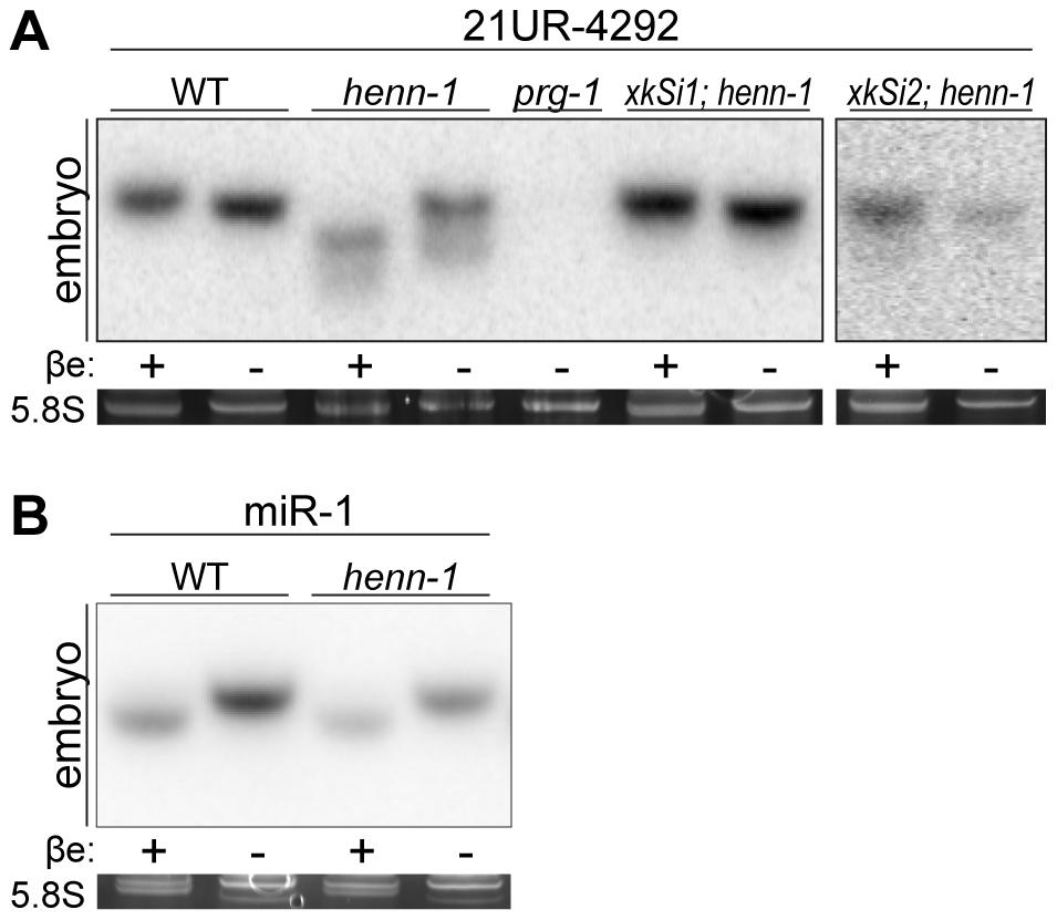 Methylation of 21U RNAs Requires <i>C. elegans</i> HEN1 Ortholog HENN-1.